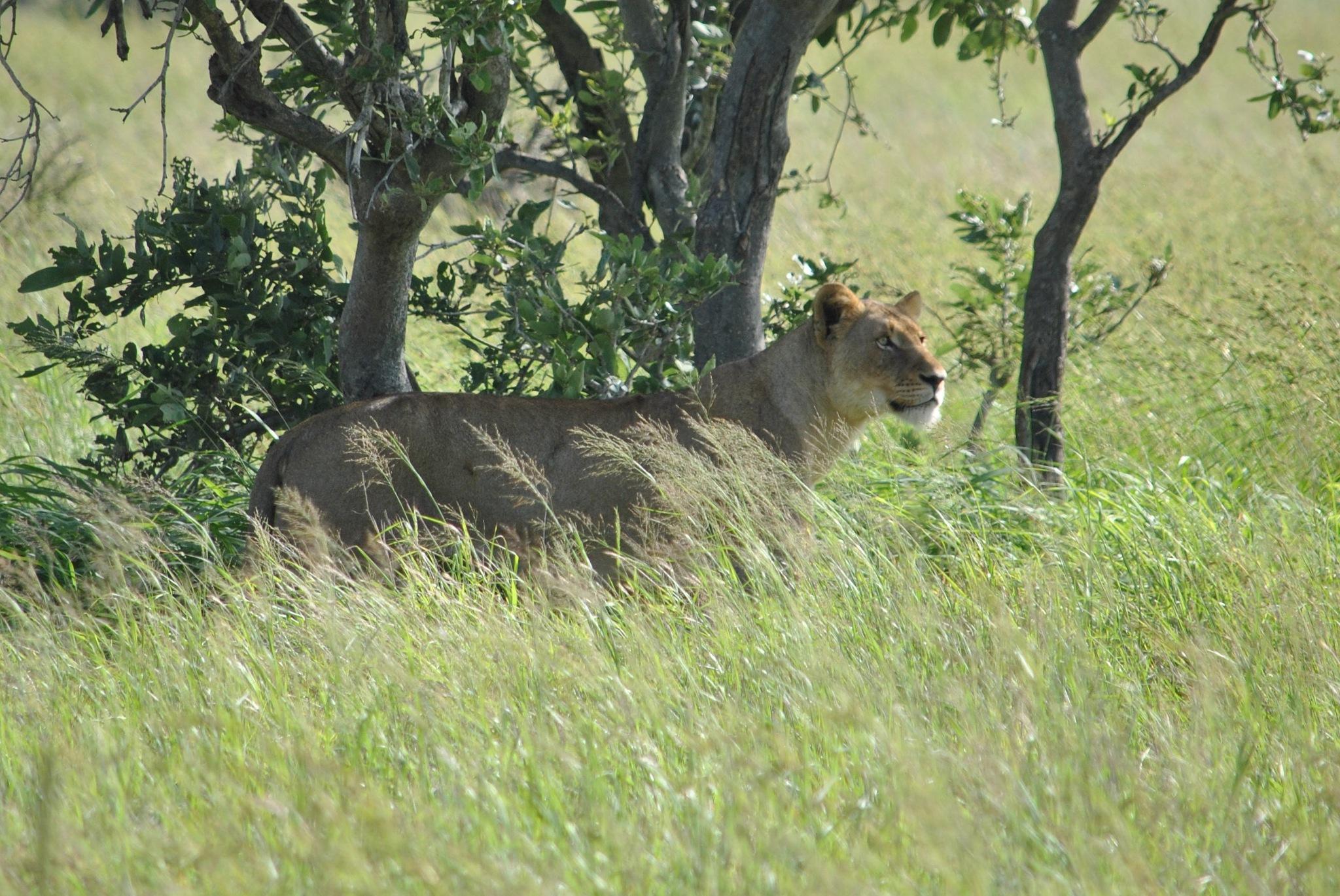 Lioness by godfreyanker