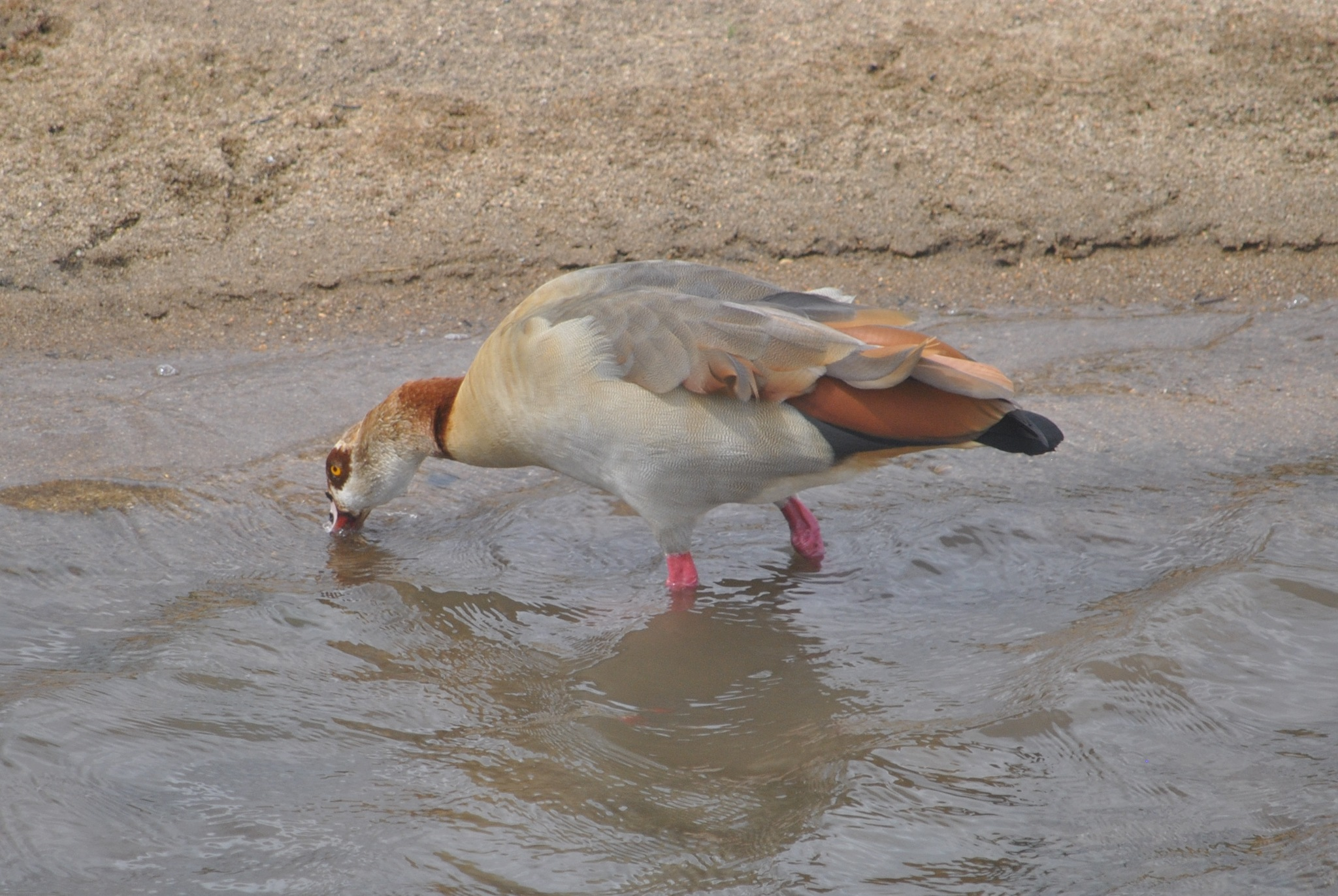 Egyptian Geese by godfreyanker