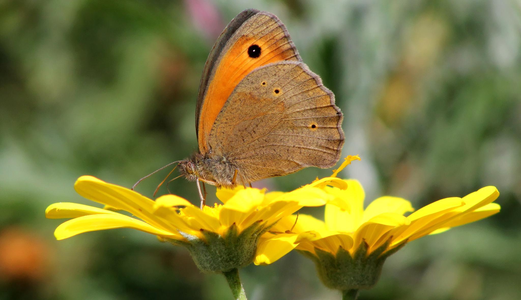 butterfly by Kristijan Siladic