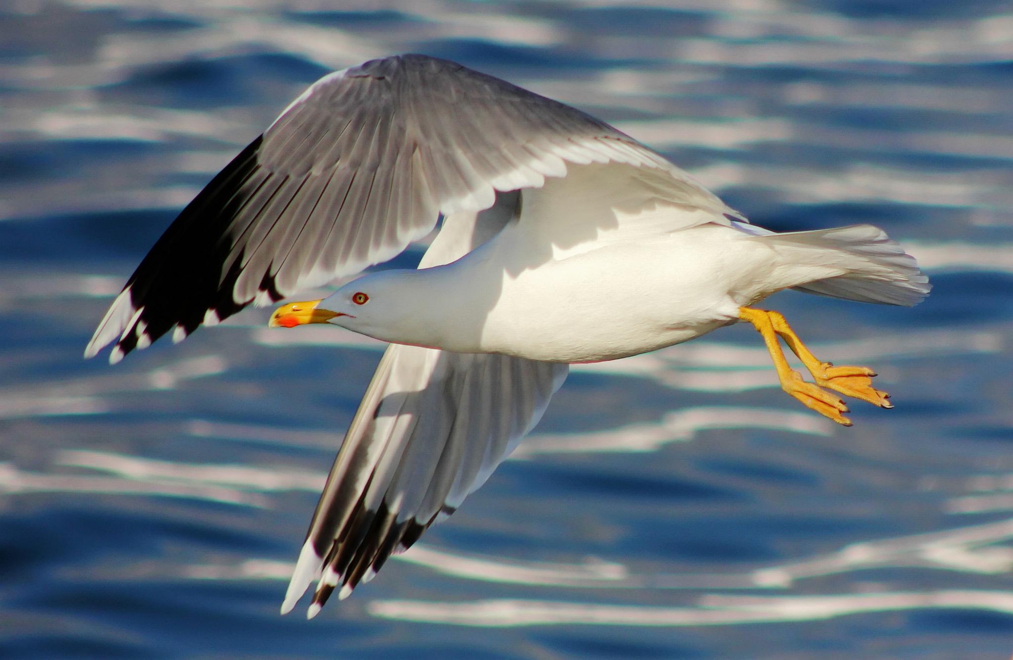 seagull by Kristijan Siladic