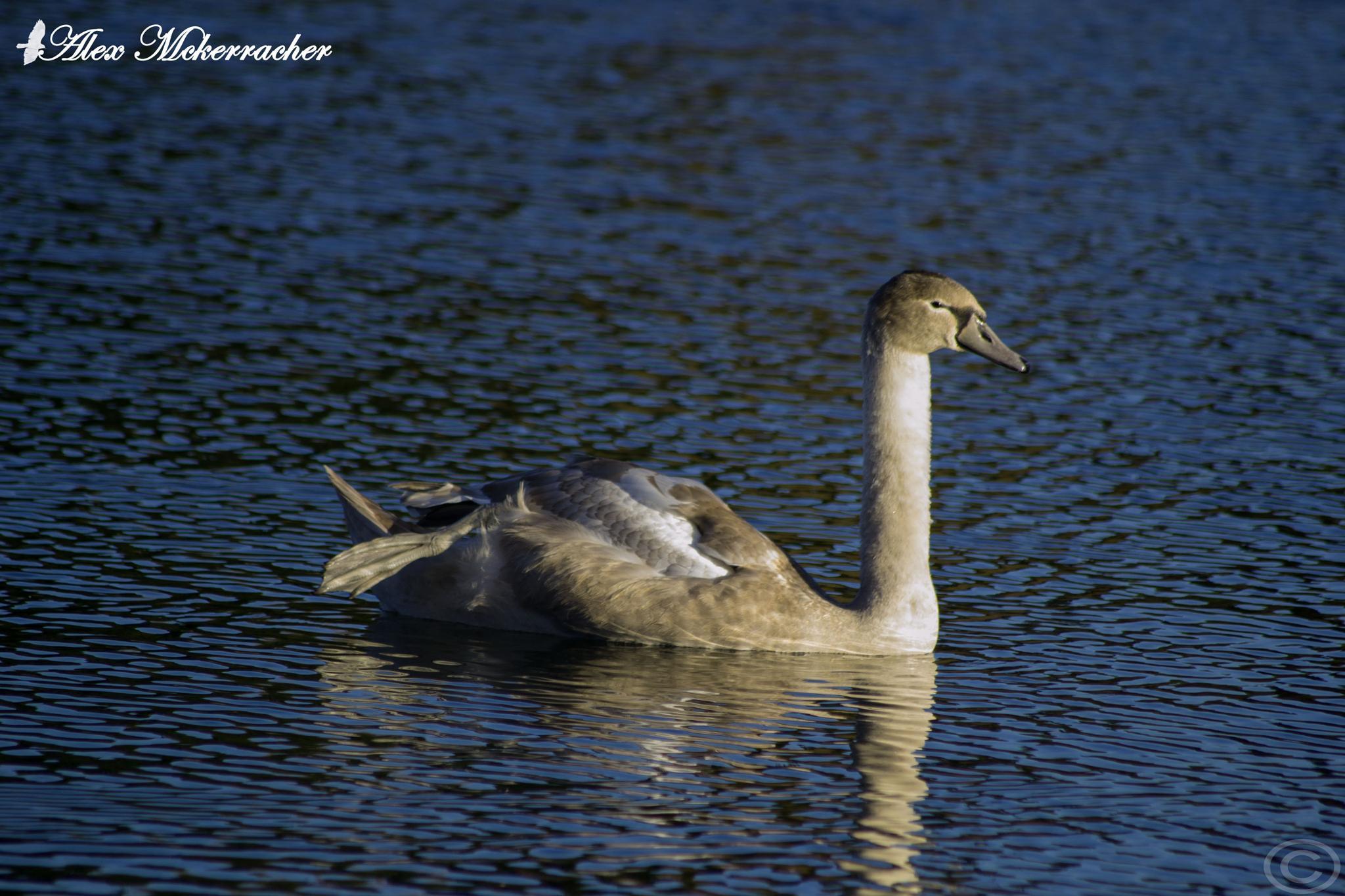 Mute Swan by AlexMckerracher