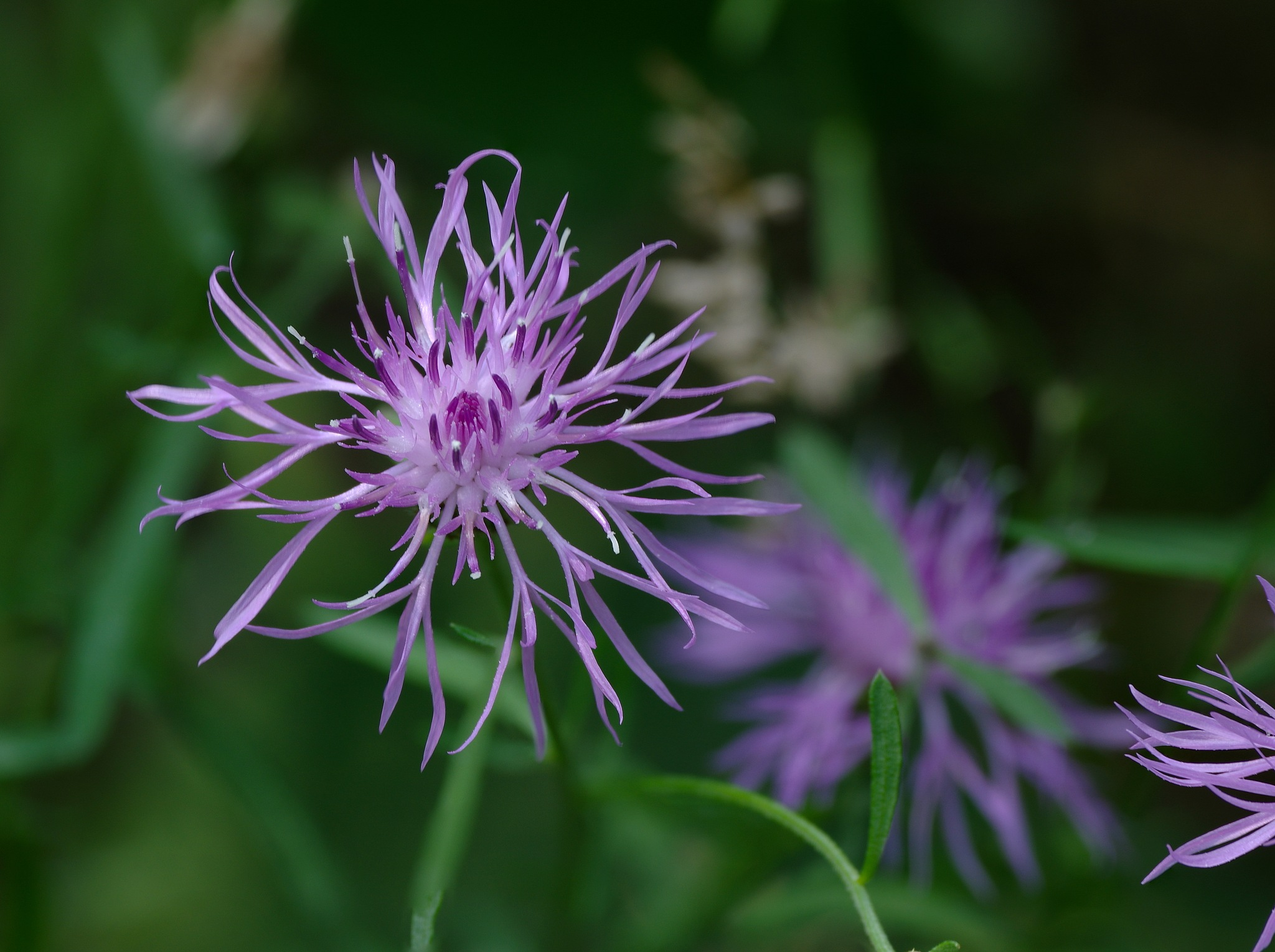 Spotted Knapweed  by Gary O'Boyle
