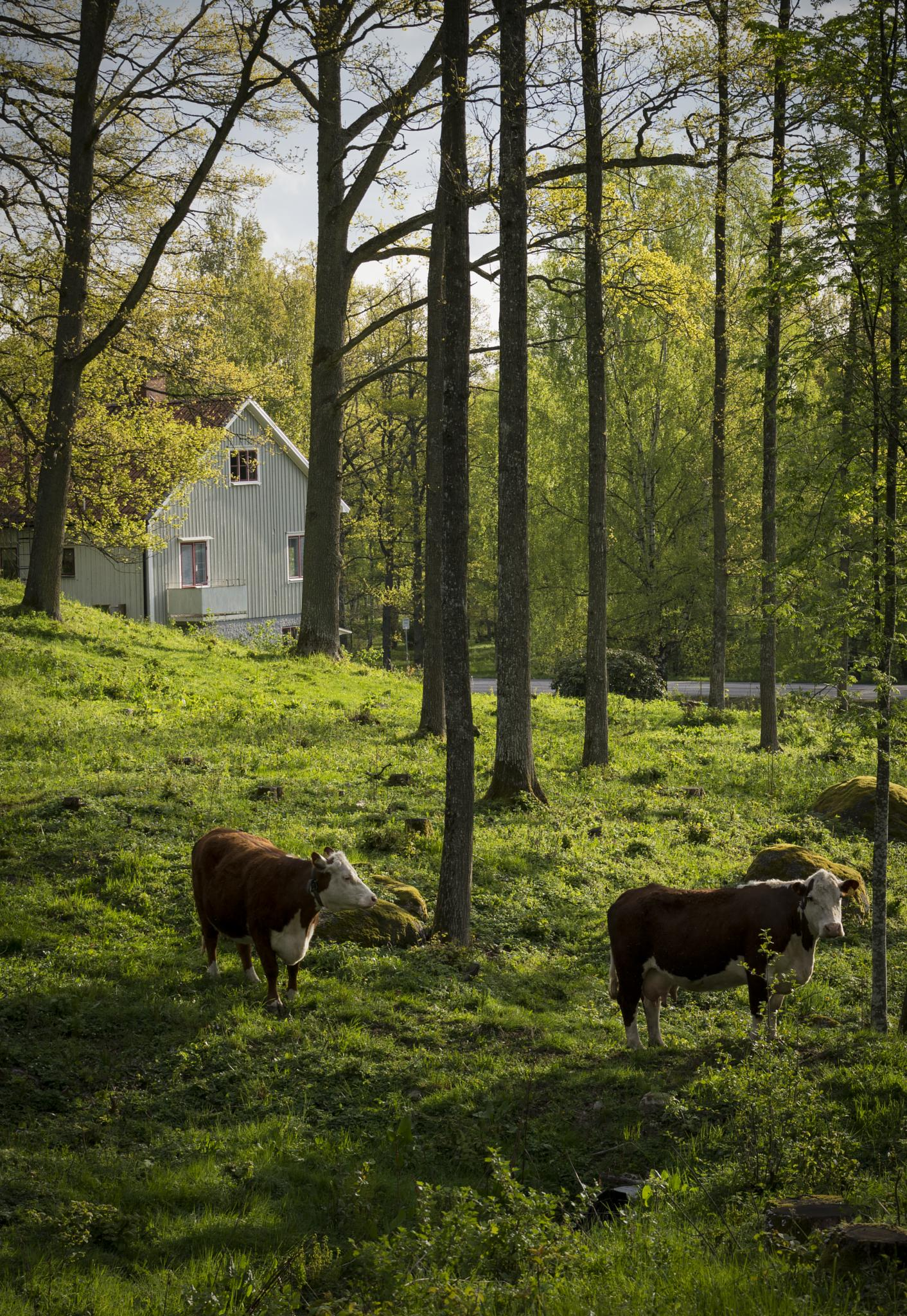 Good morning cows by Patrik Persson