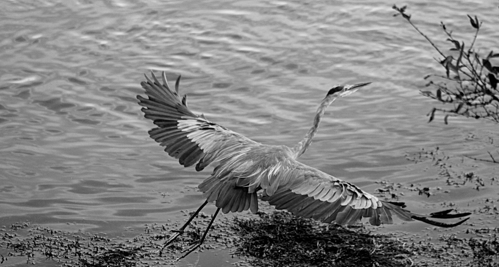Grey Heron by susanne carlton