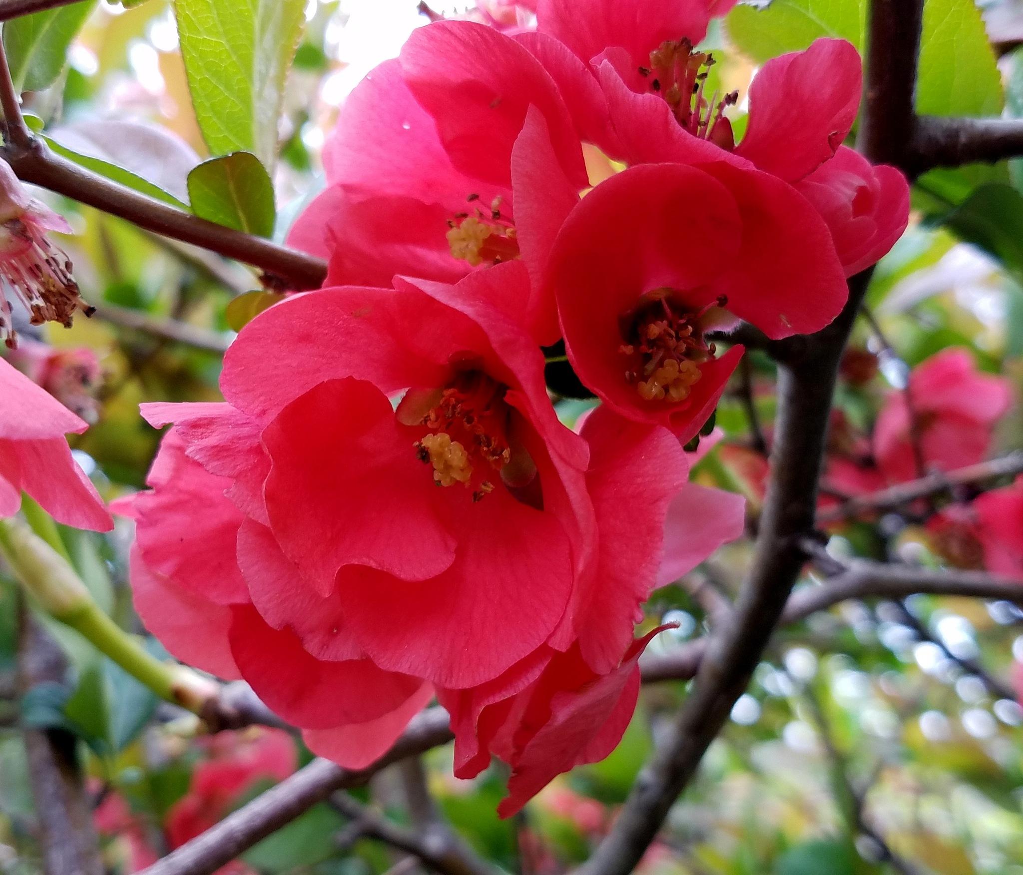 Blossoms by susanne carlton