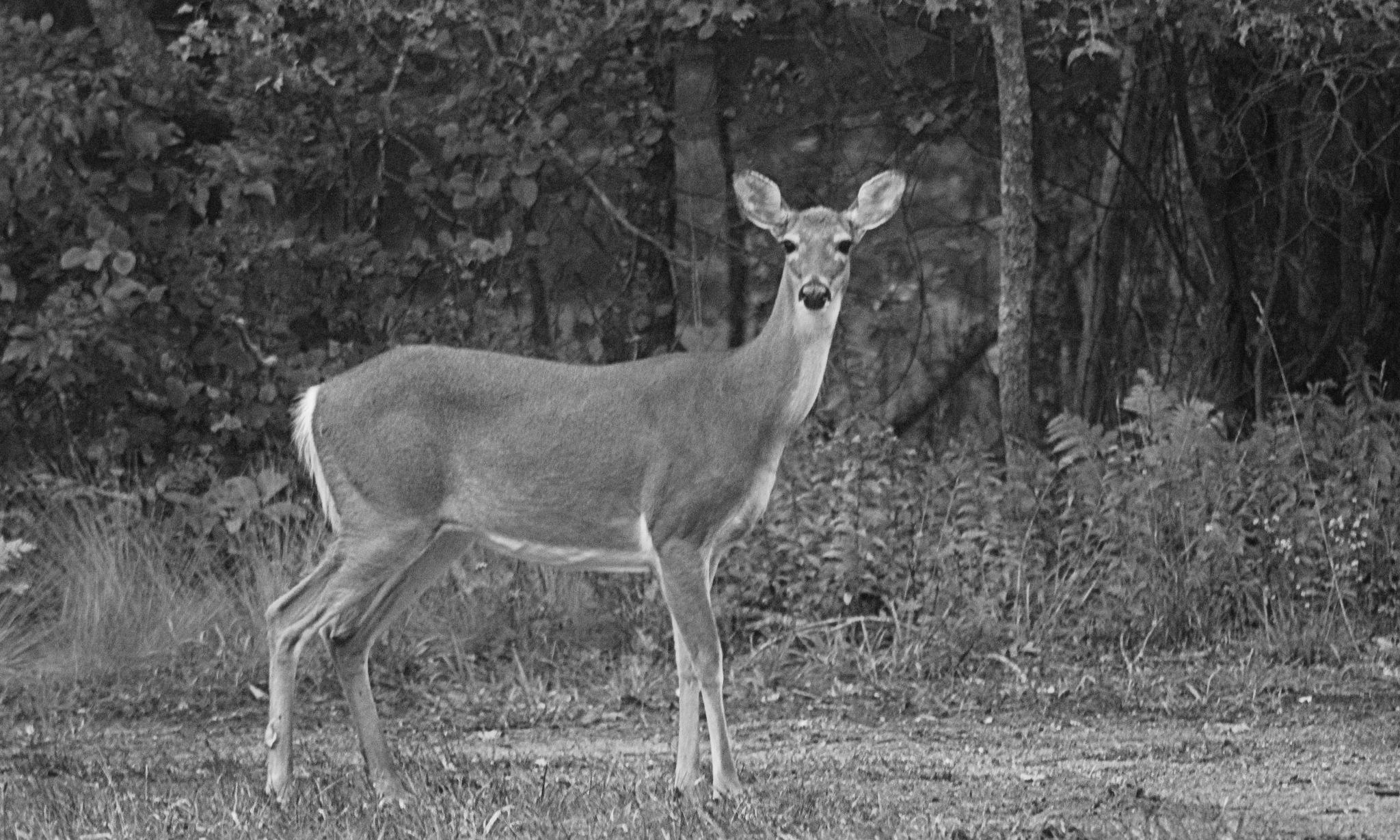 Doe- A -Deer by susanne carlton