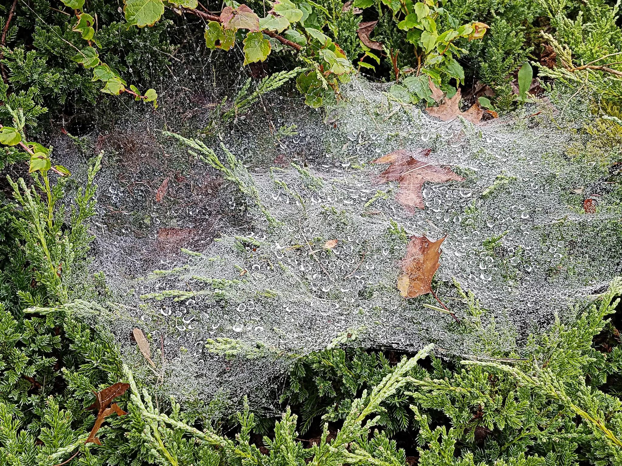Spider Web by susanne carlton