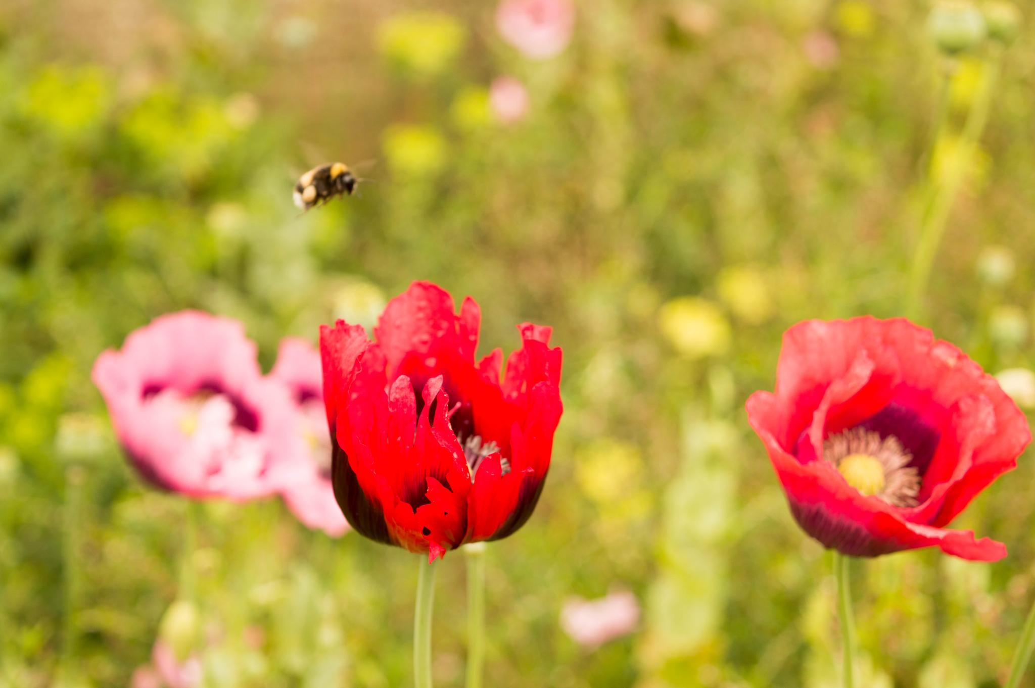 Bee & Poppies by Jacqueline Thomas