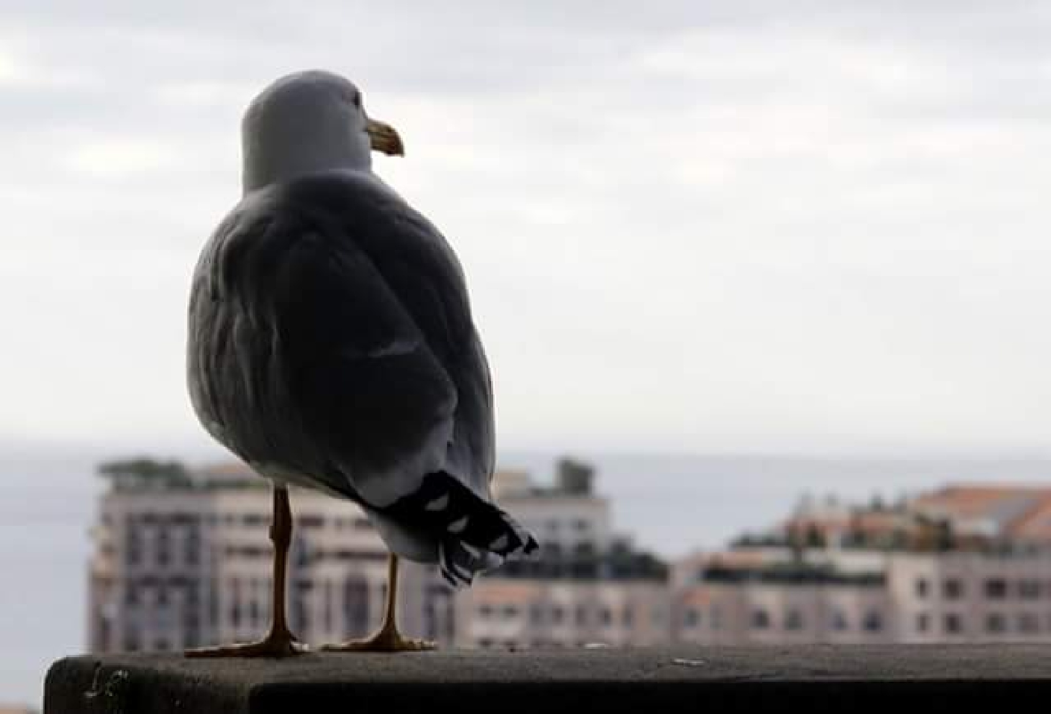 the back gull by thierrylorenzo