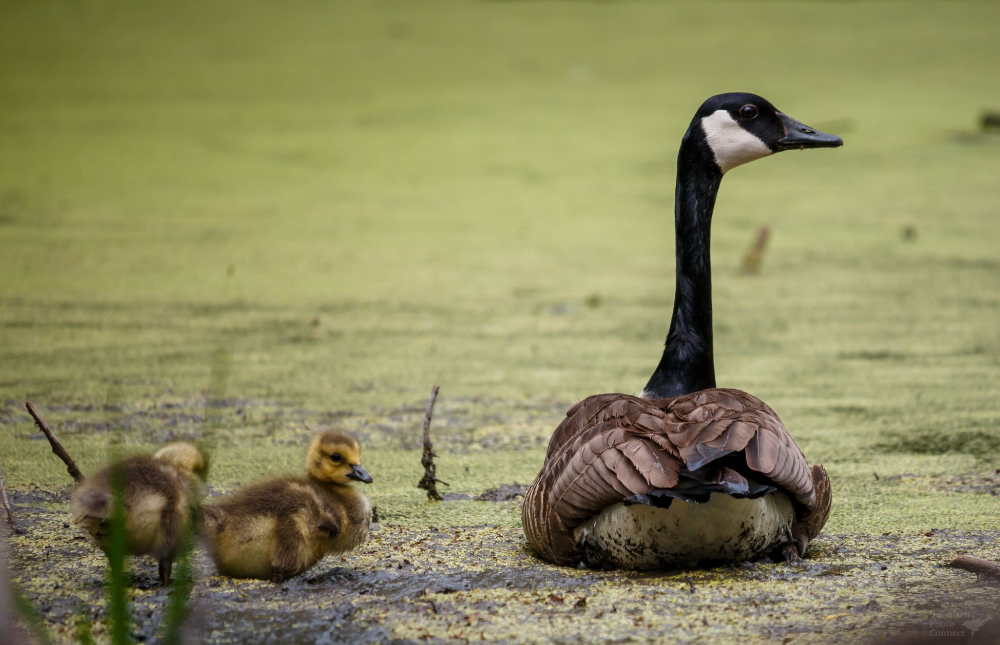Goose n Goslings by Duentsch Photo Connect