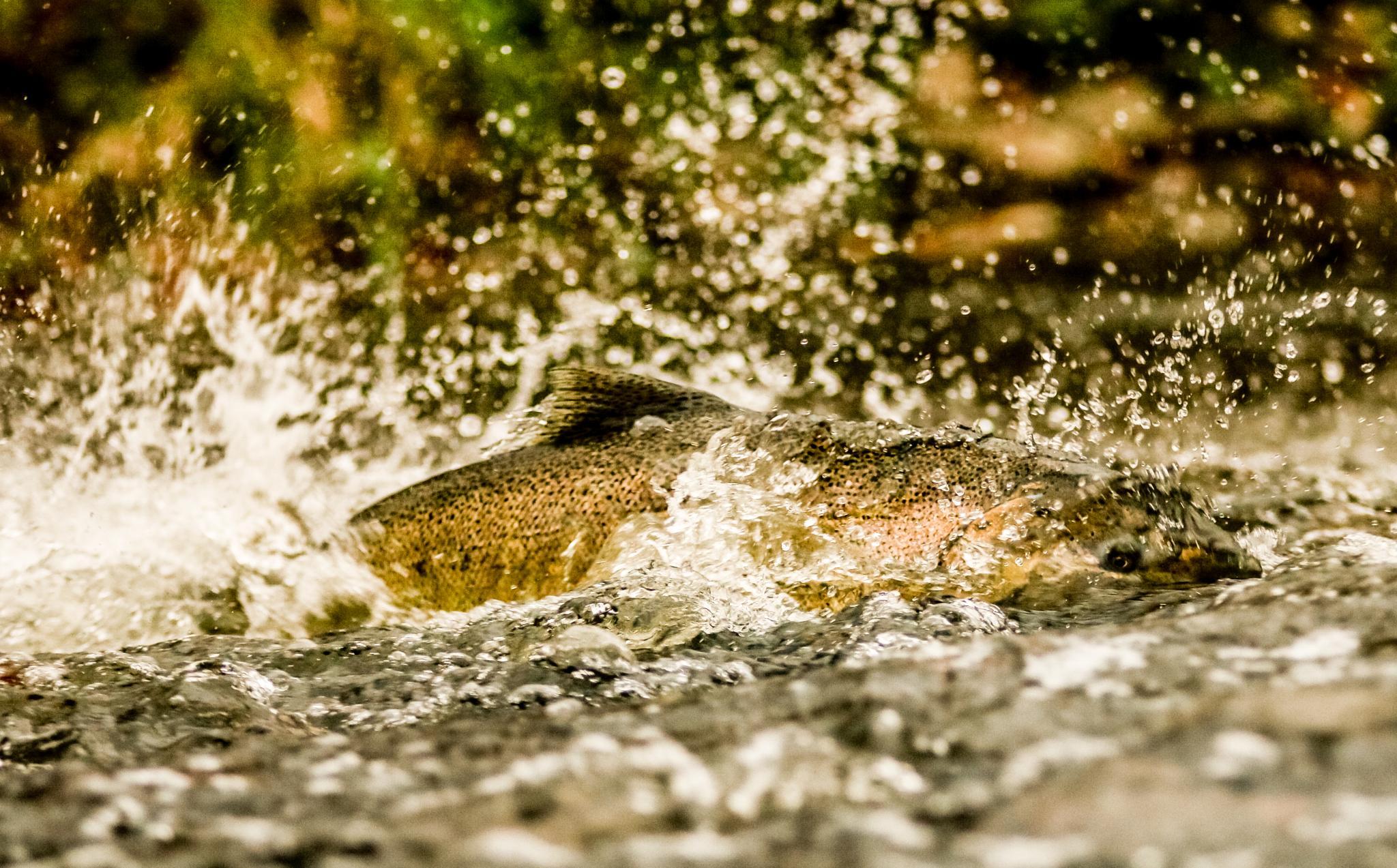 Photo in Animal #fish #salmon #wildlife2014 #wild #wildlife #nature #river #stream #natural #nature2014 #animal #animal2014 #swim #swimming