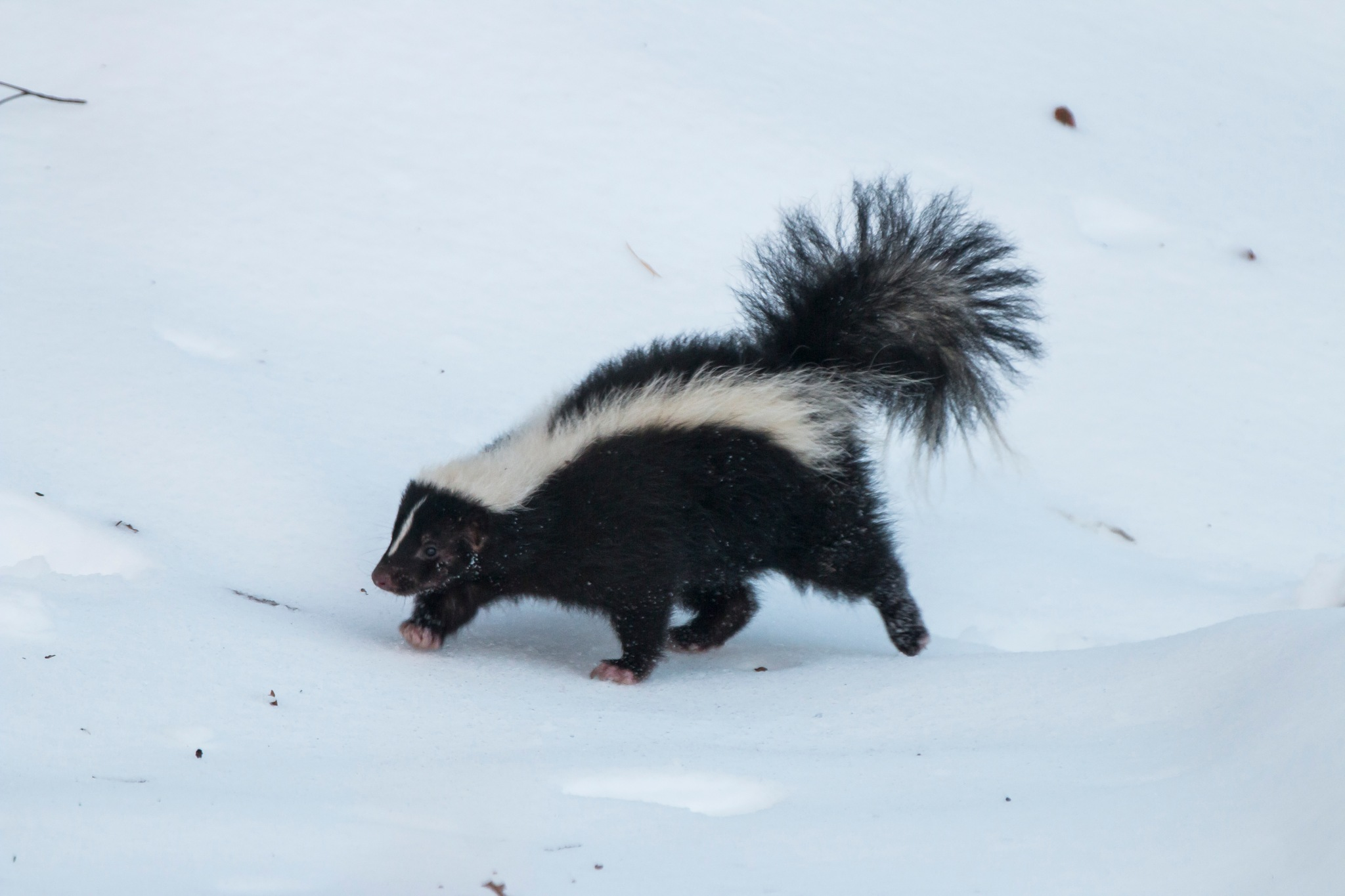 Skunky tip toe by Duentsch Photo Connect