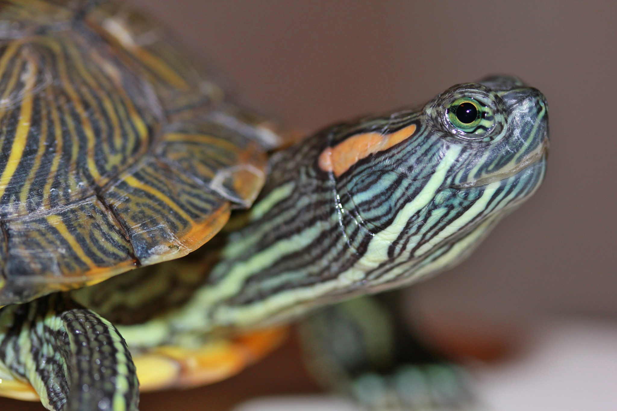 Water Turtle by rcpics