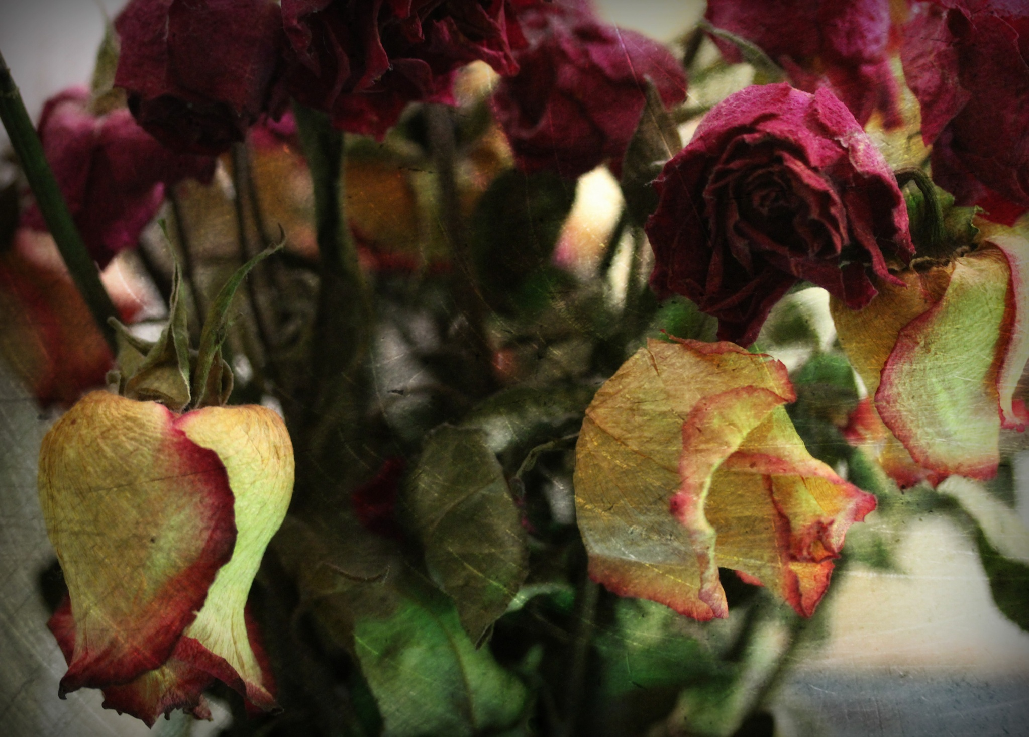 withered roses by rcpics