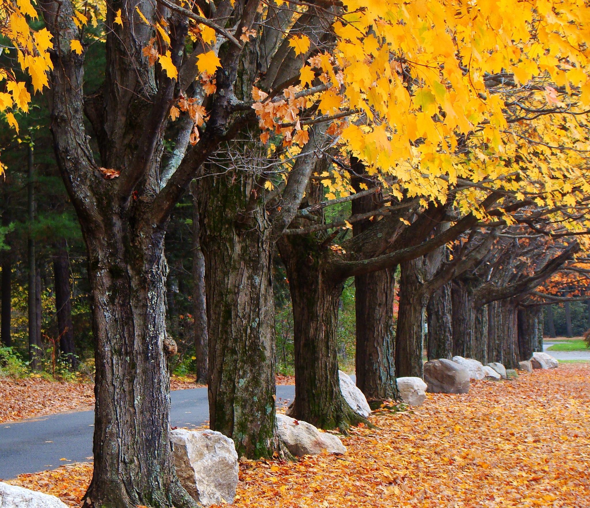 Photo in Landscape #autumn #maple trees #orange