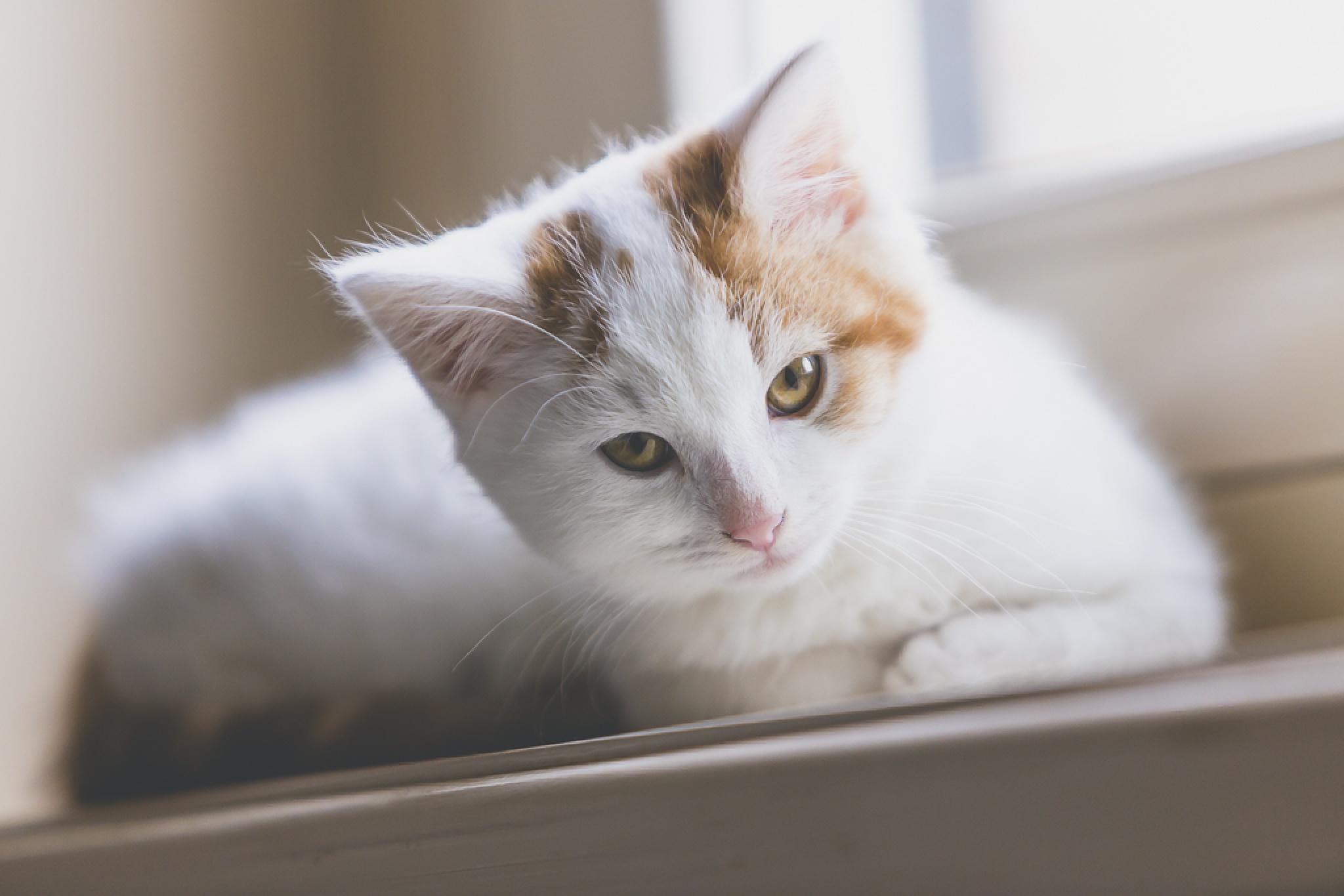 Felis catus by Serge