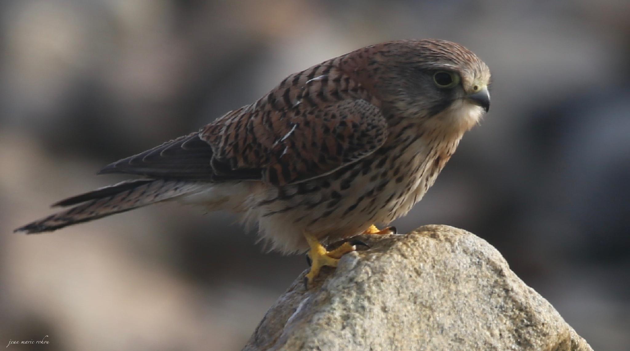 Kestrel- Faucon crécerelle (femal) by jean marie rohou
