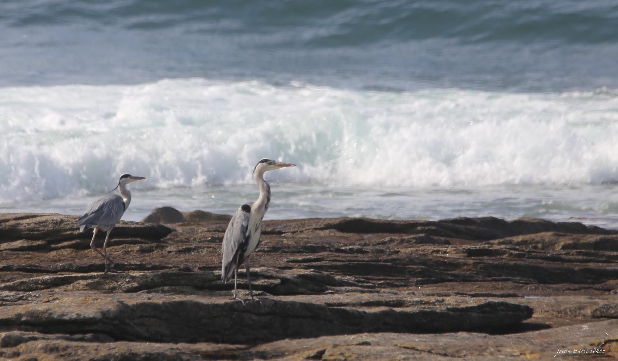 grey heron  by jean marie rohou