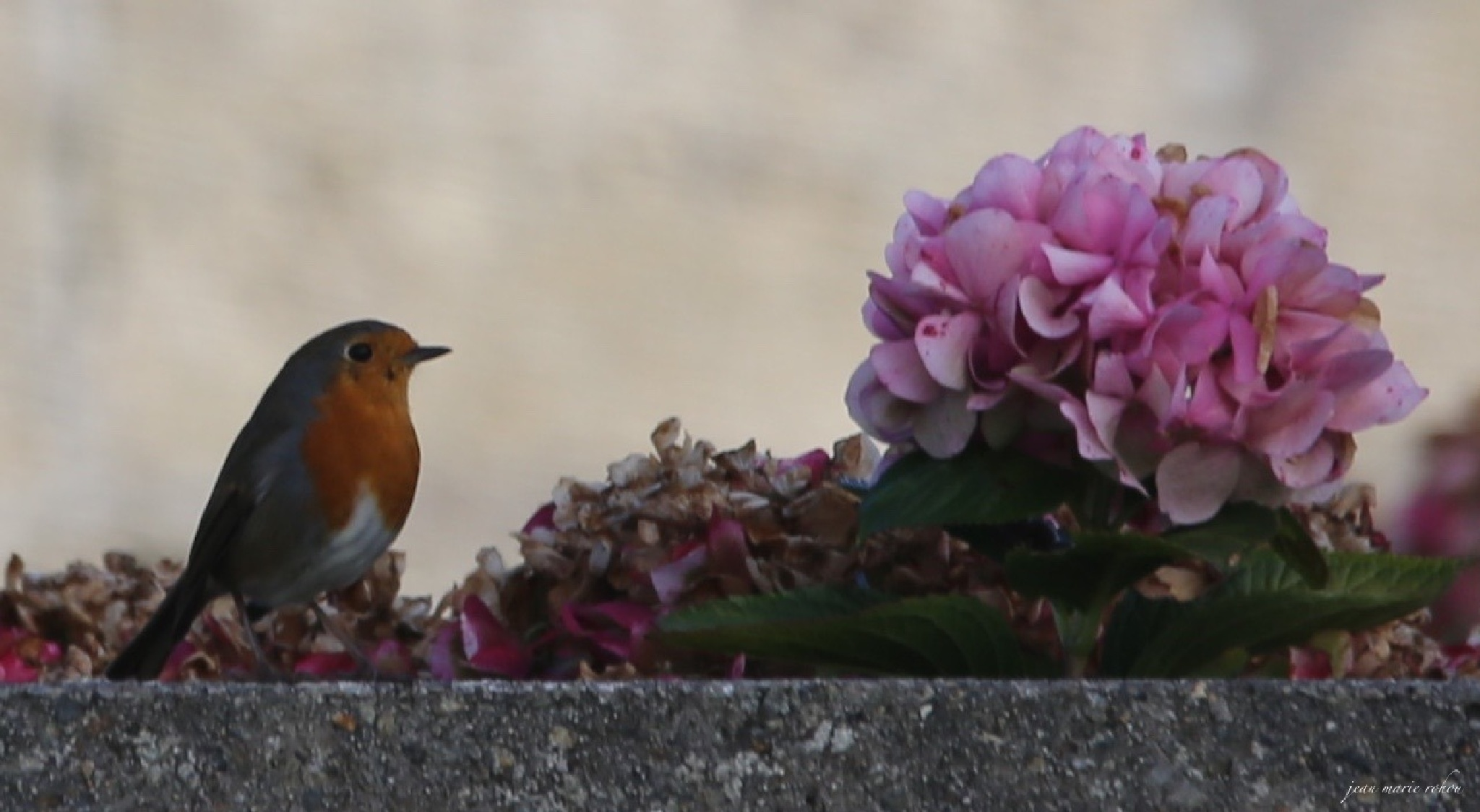 European Robin (with flower) (2) by jean marie rohou