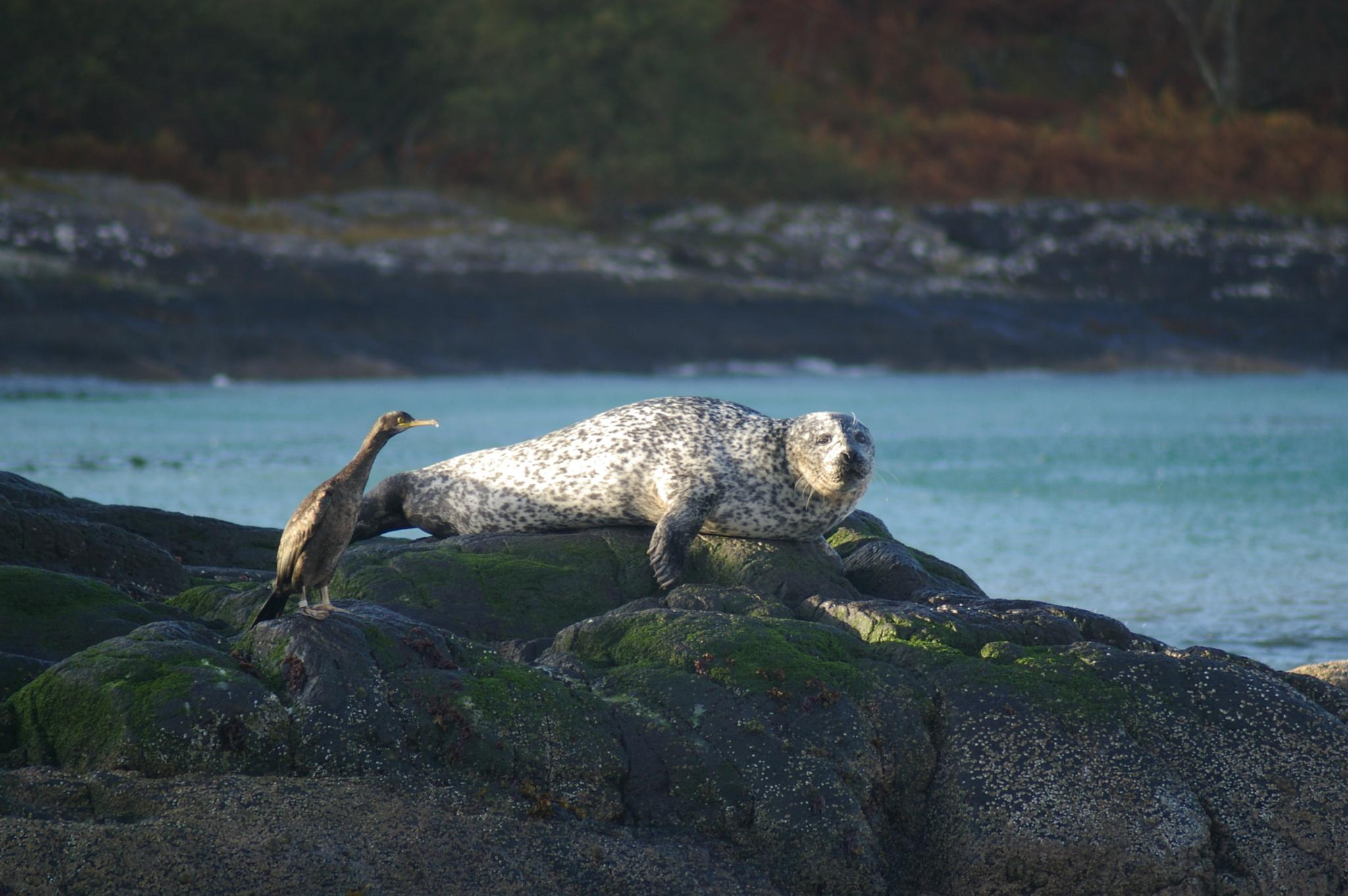 Cormorant and Seal on rock. by andy holohan