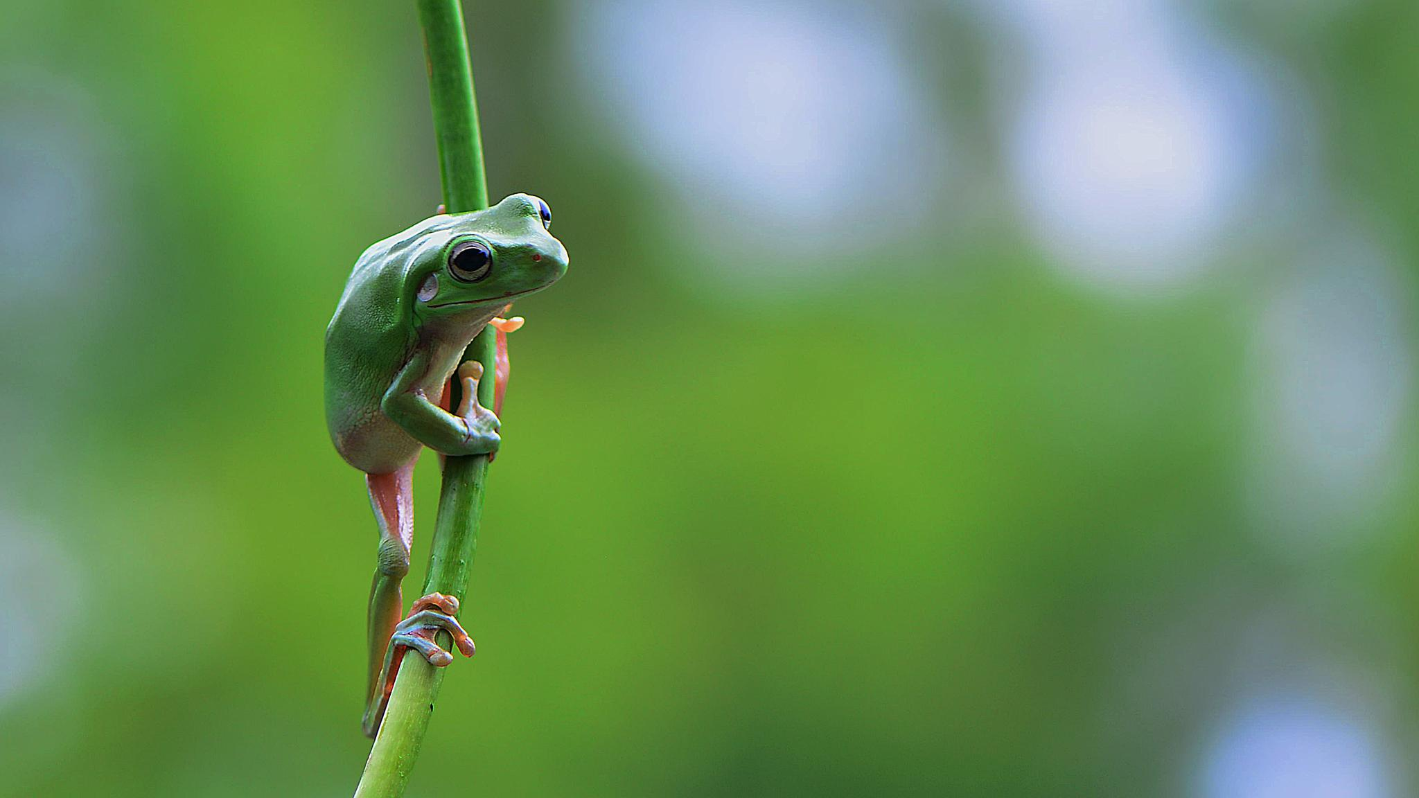 Green Frog by ajarsetiadi