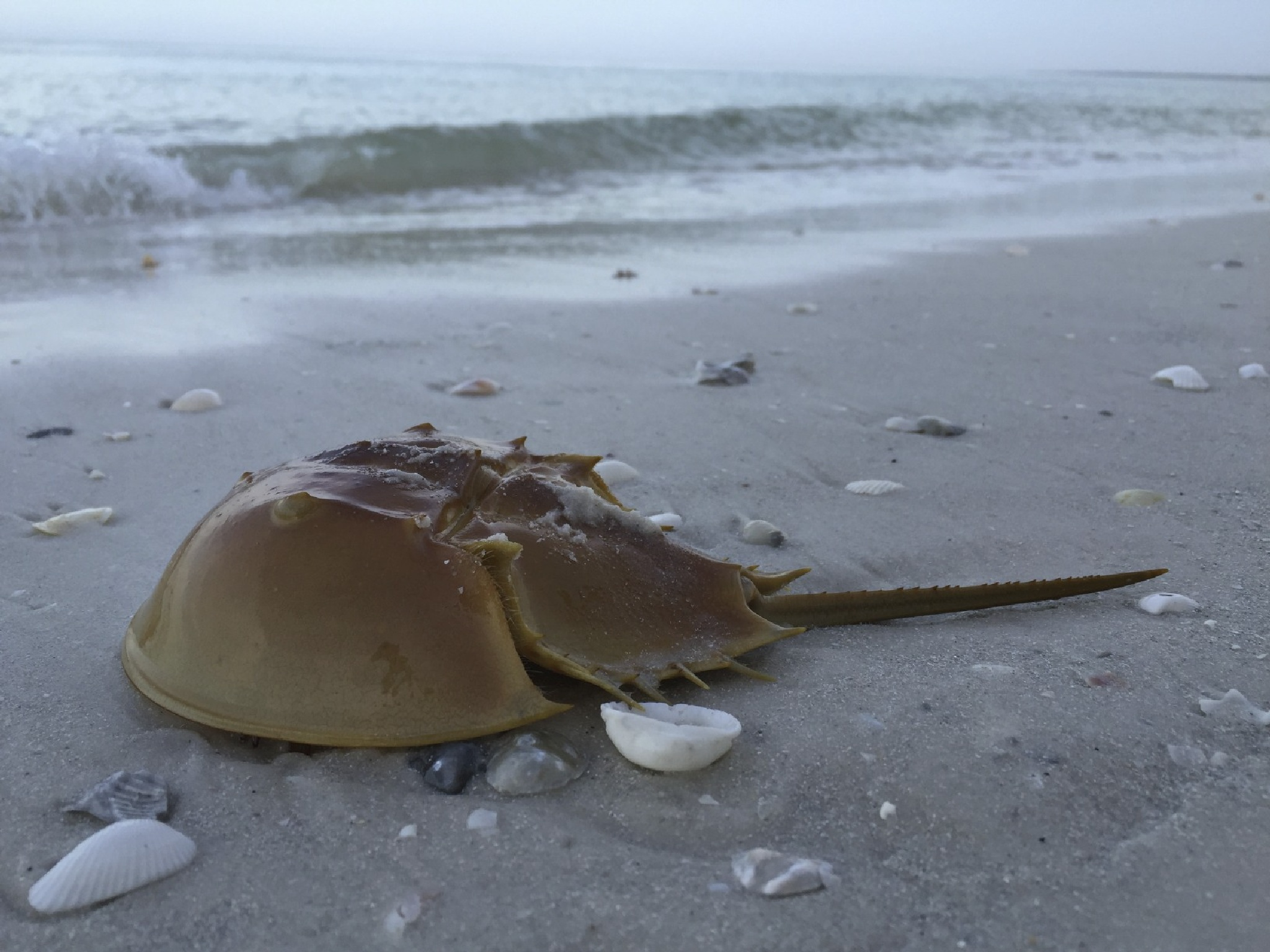 Horseshoe Crab by S. Asif Shah photography