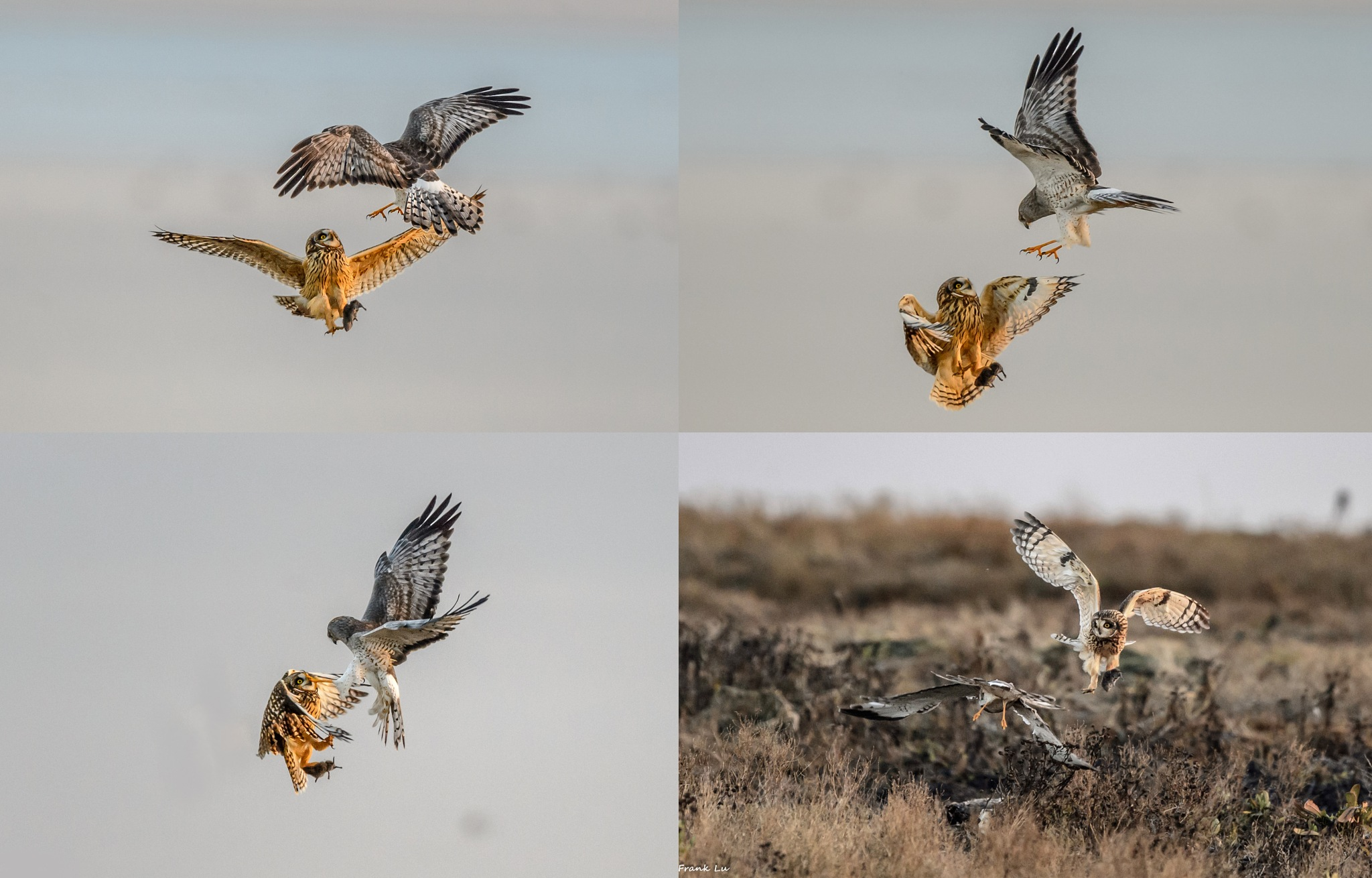 Short-eared Owl and Northern Harrier dispute by Janmilu