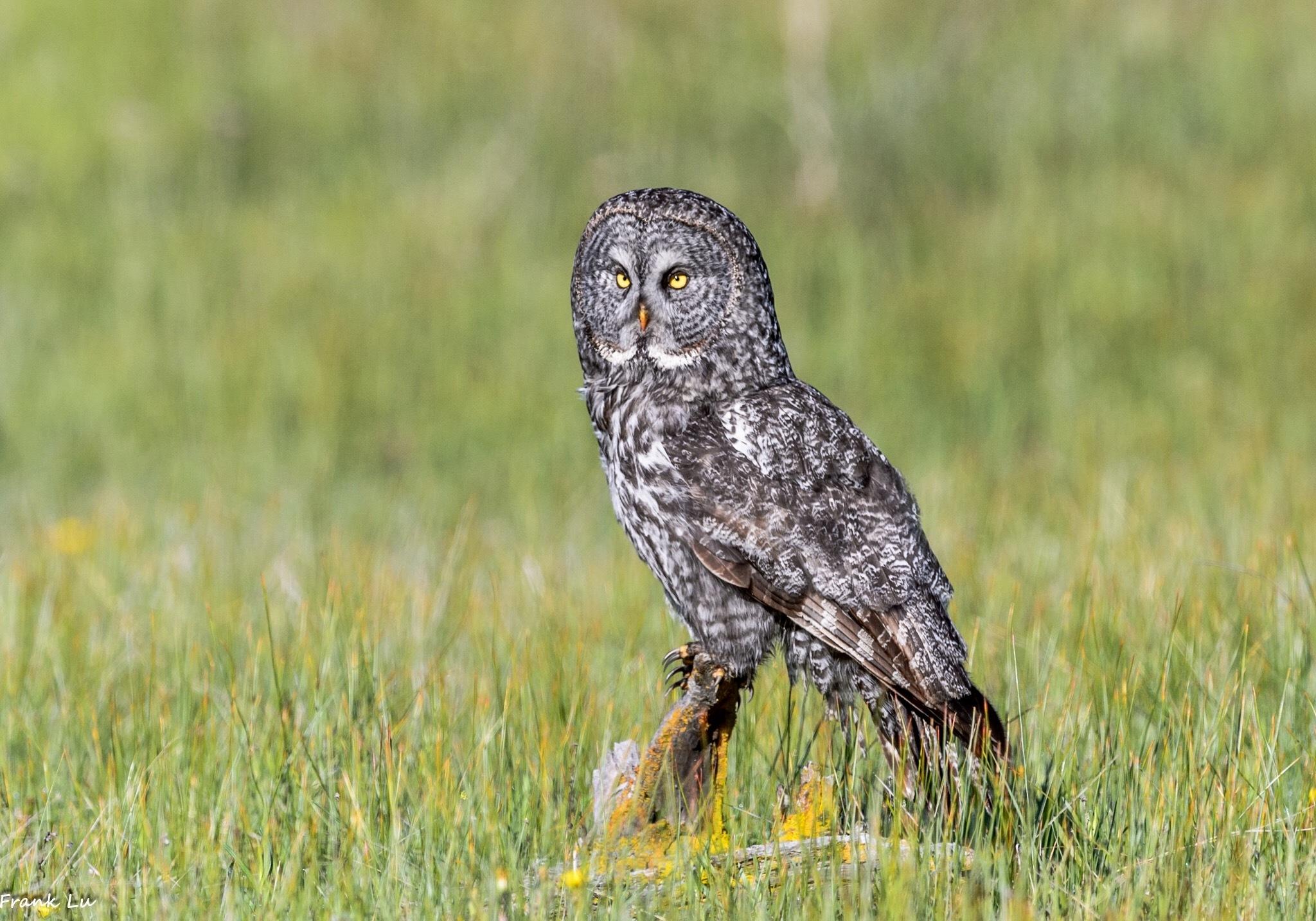Great Gray Owl by Janmilu