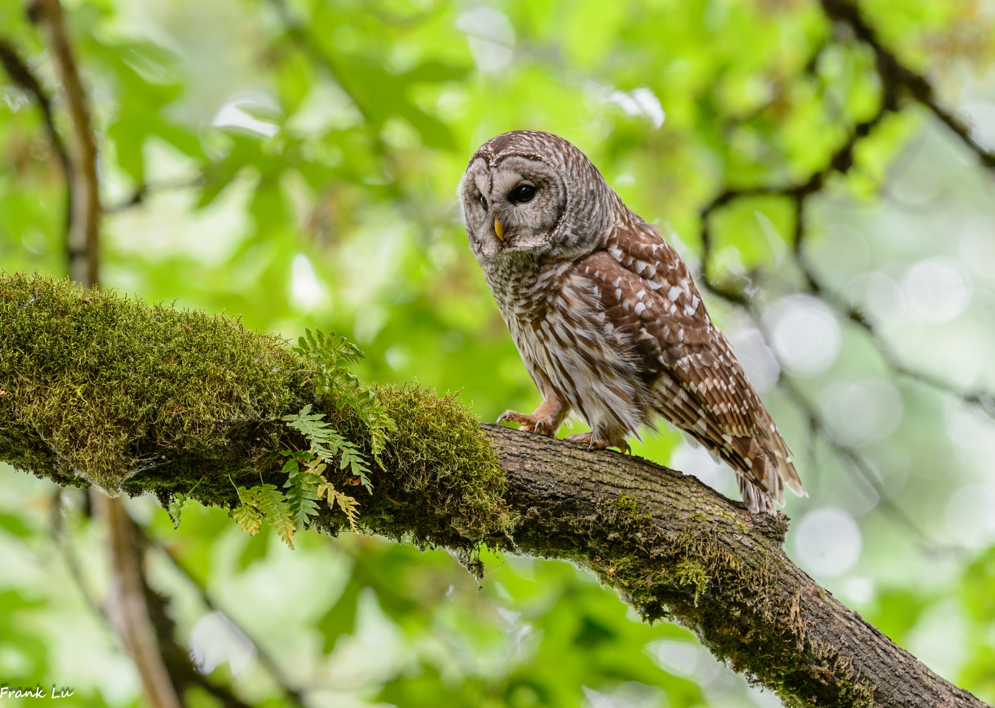 Barred Owl walking by Janmilu