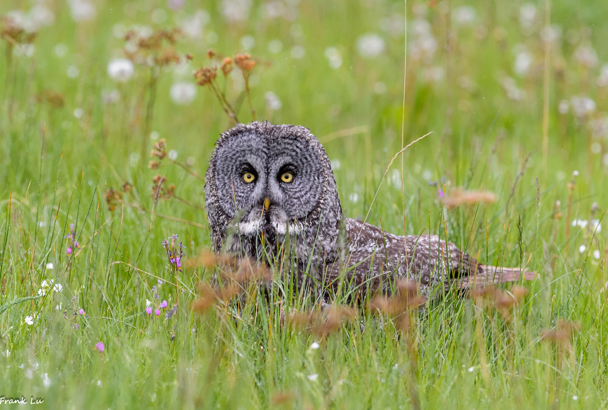 Great Gray Owl by Janmilu