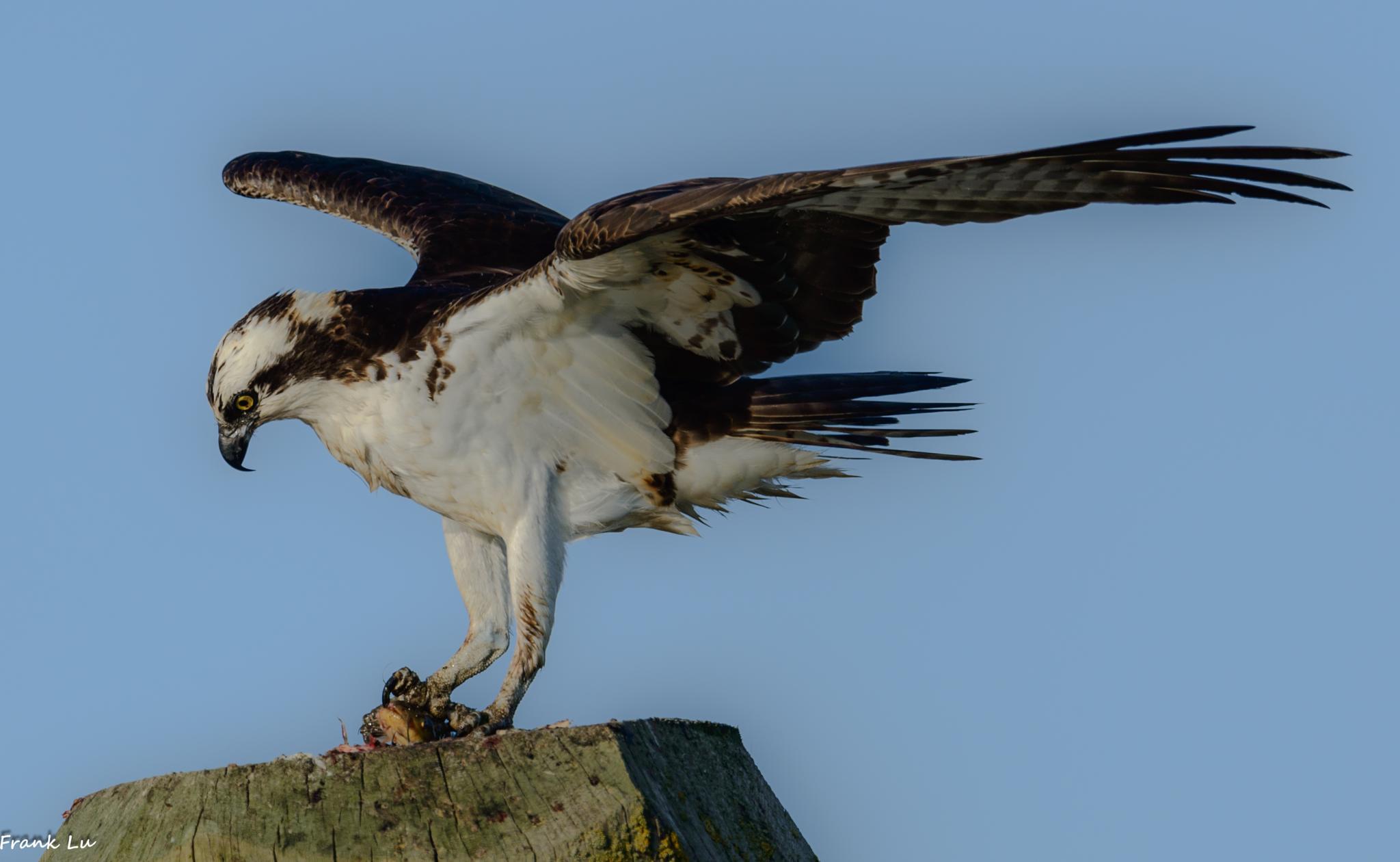Osprey by Janmilu