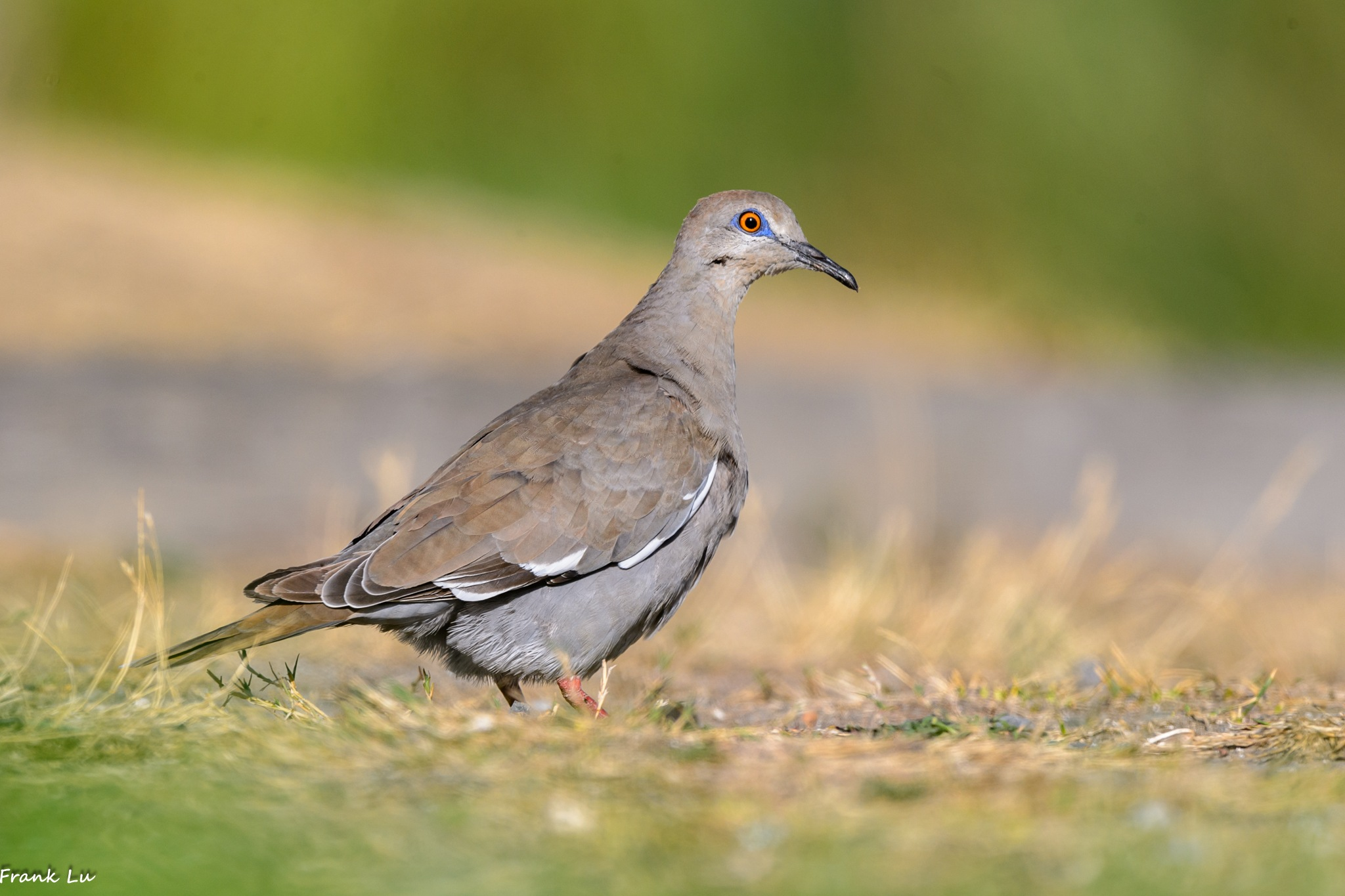 White-winged Dove by Janmilu