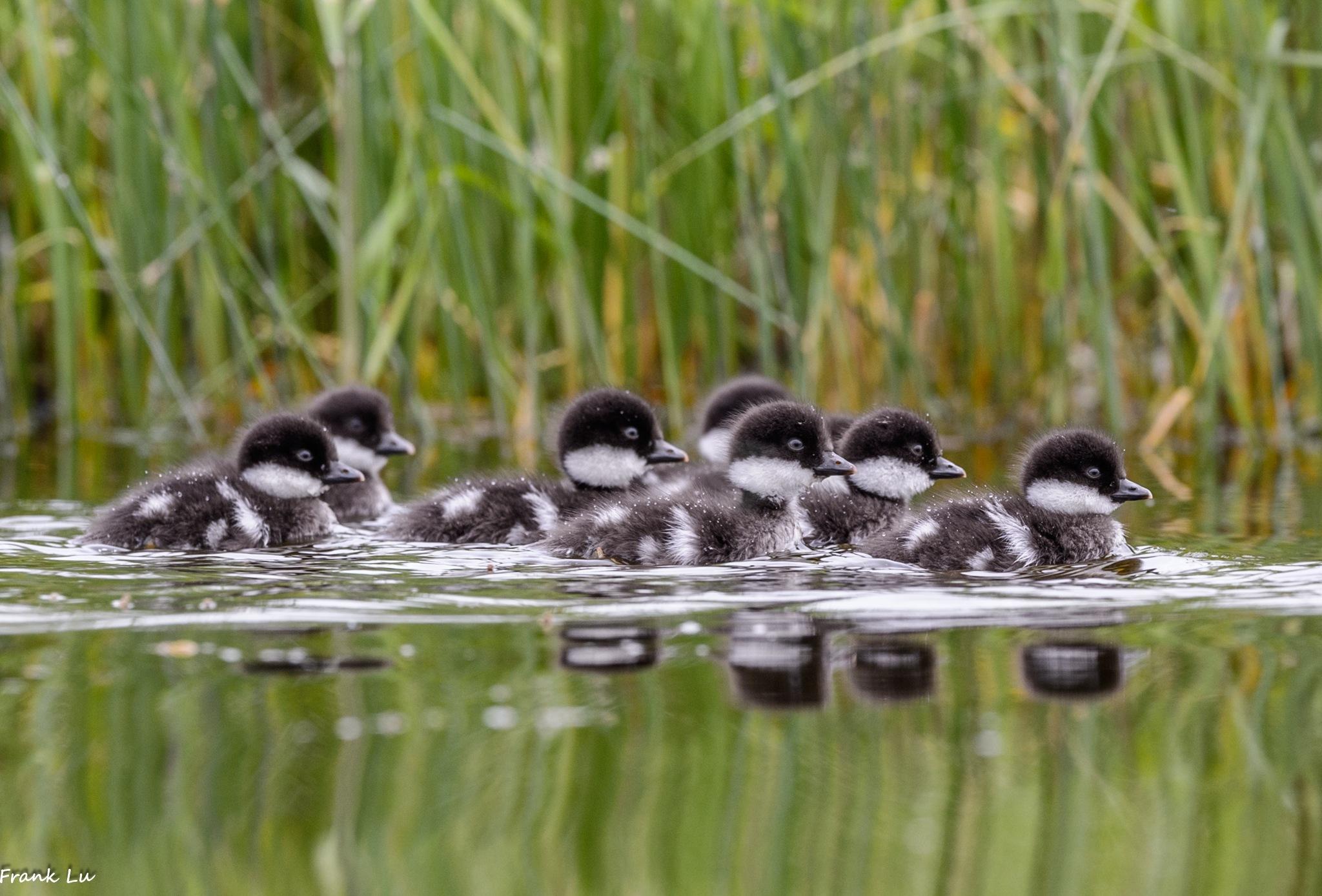 Barrow's Goldeneye Ducklings by Janmilu