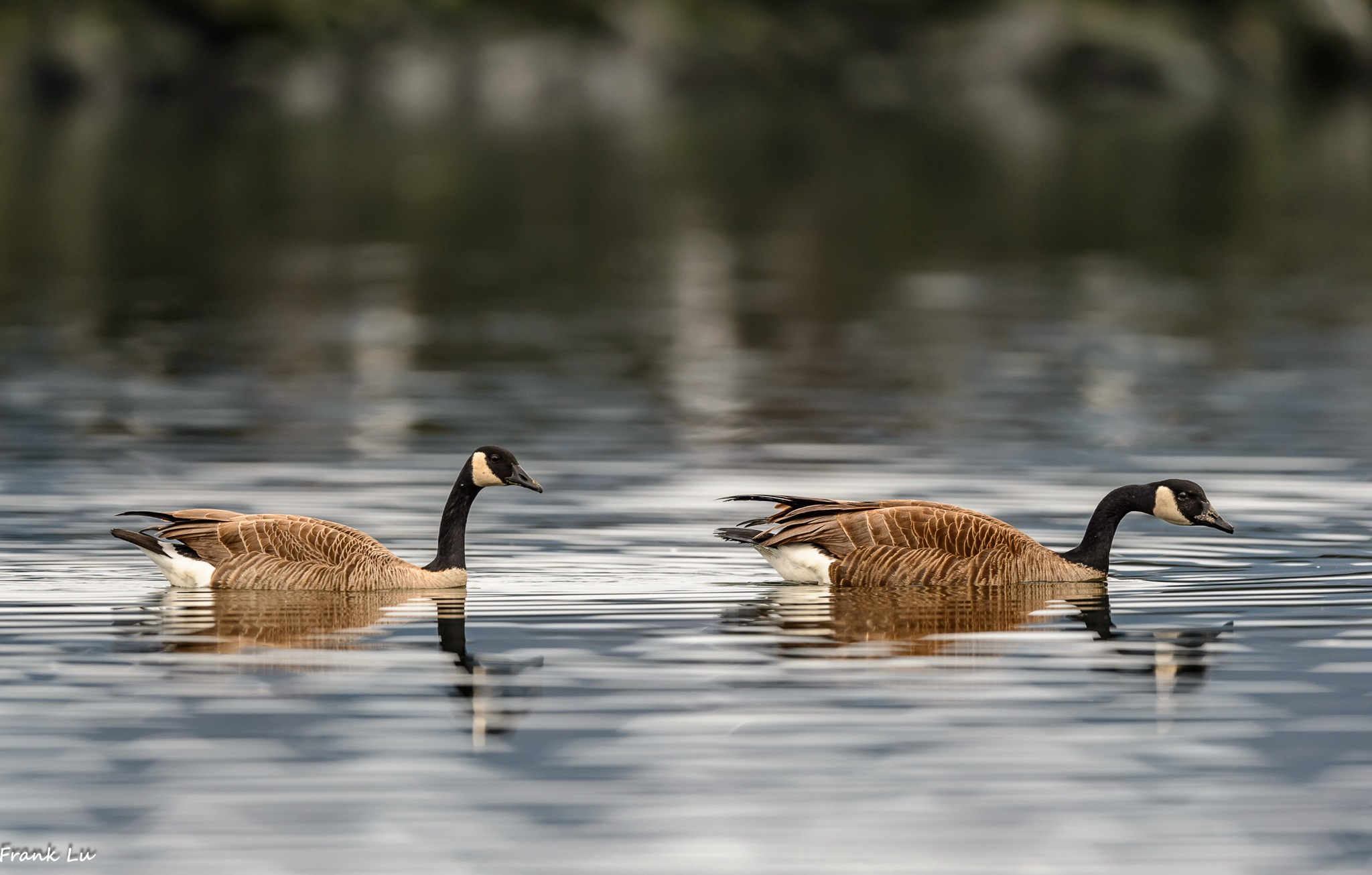 Canada Goose by Janmilu