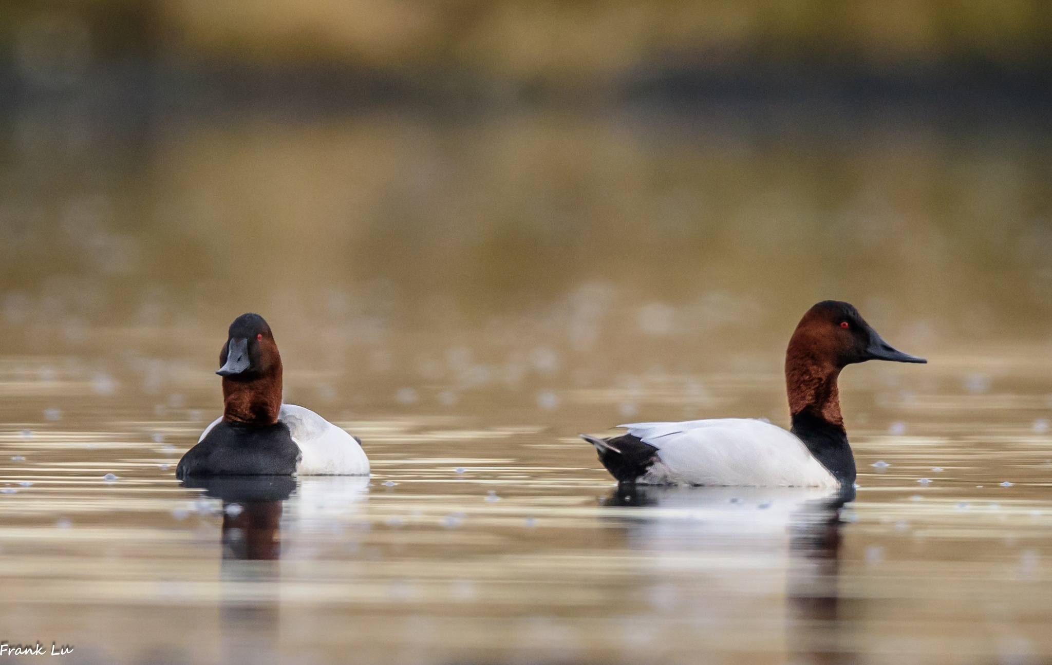 Canvasbacks male by Janmilu