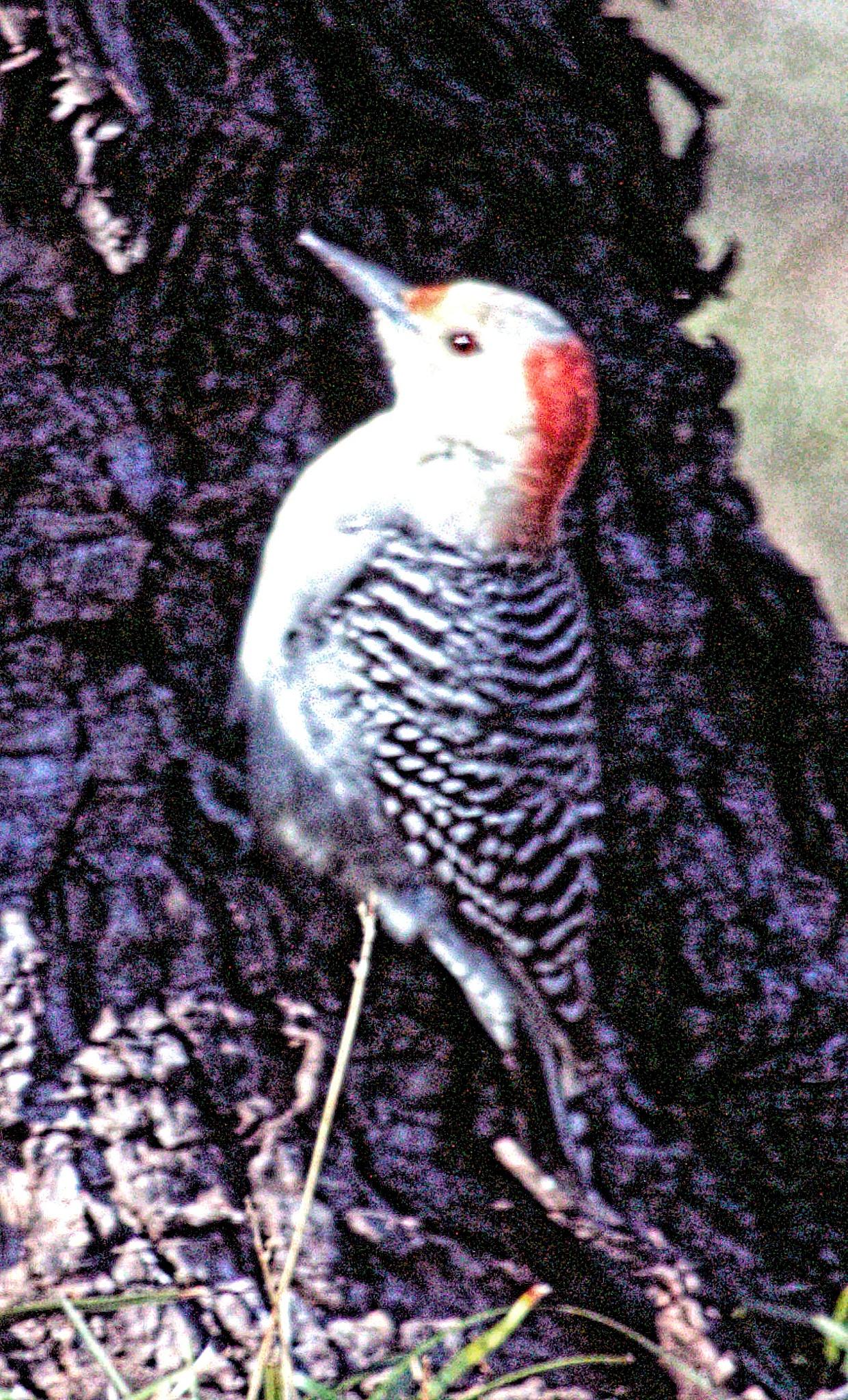 Red Headed Woodpecker by dewoodward