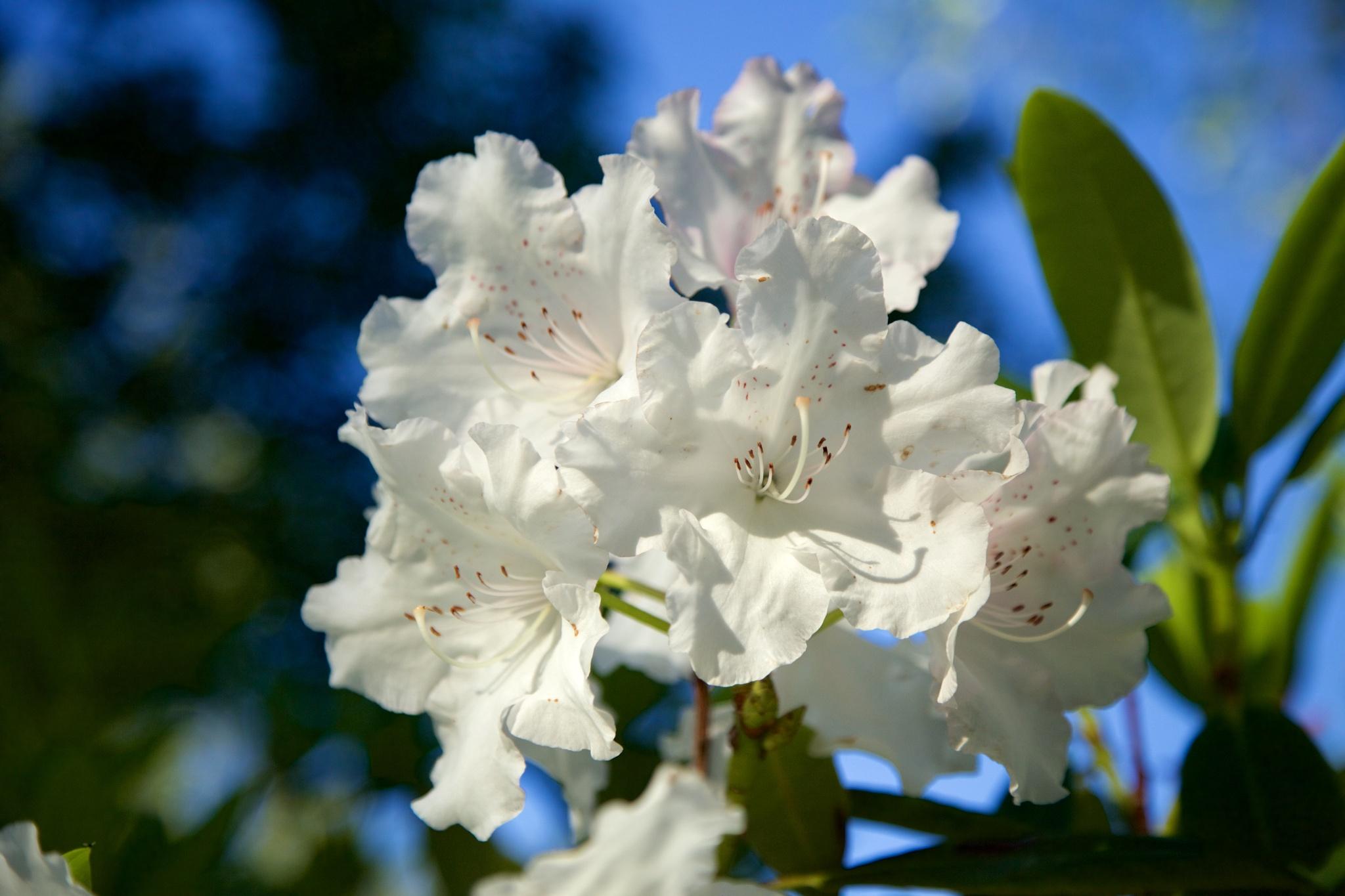 White beauty by lesleyshone