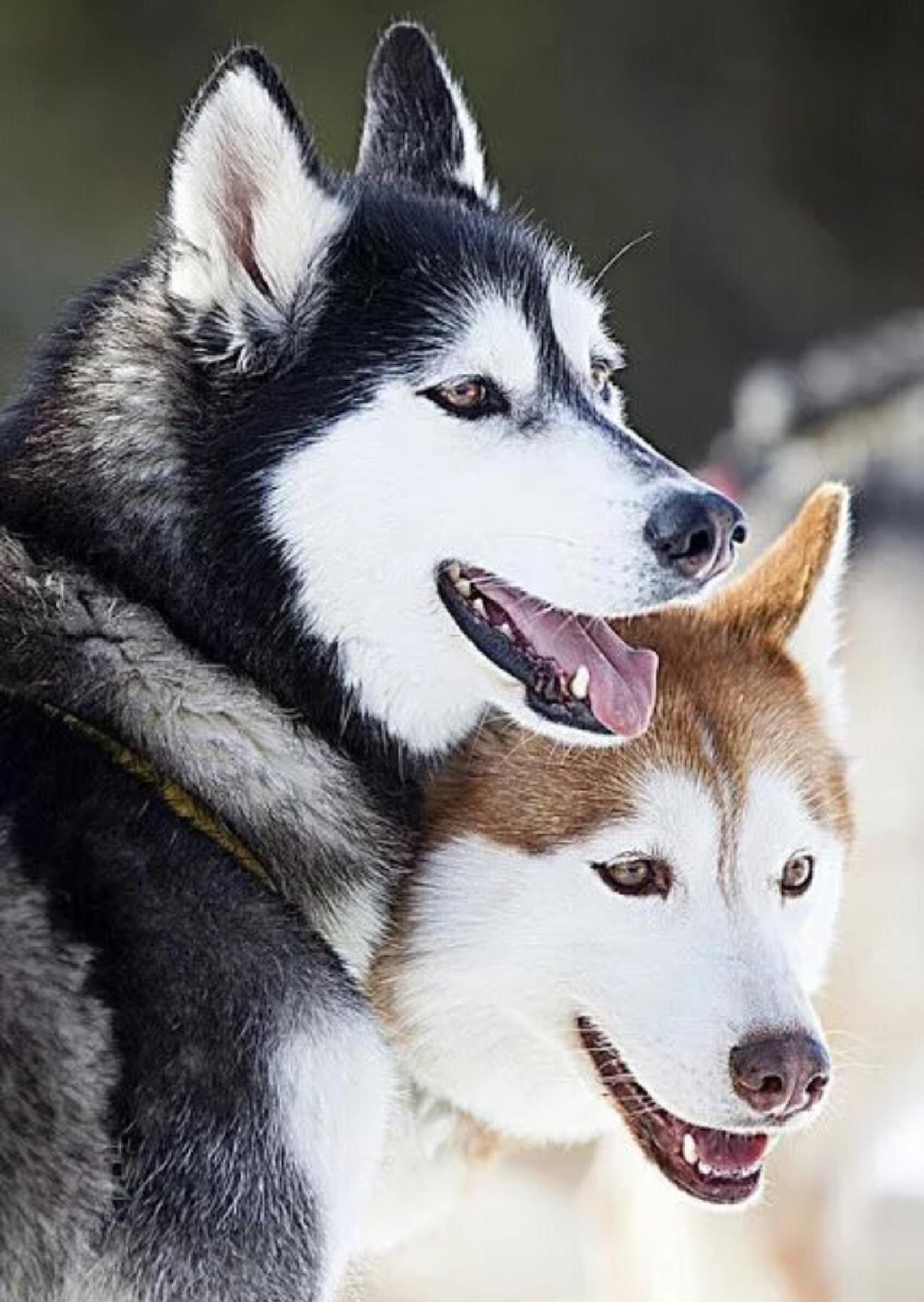 Twin huskies by liyah6rc