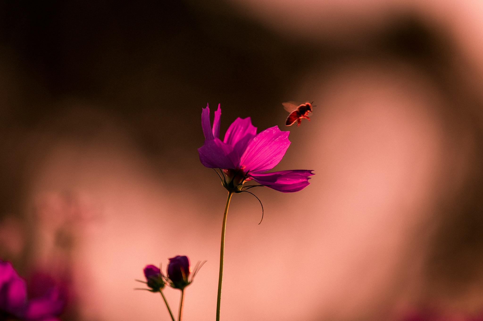 コスモスと蜜蜂 3 by hirosi484
