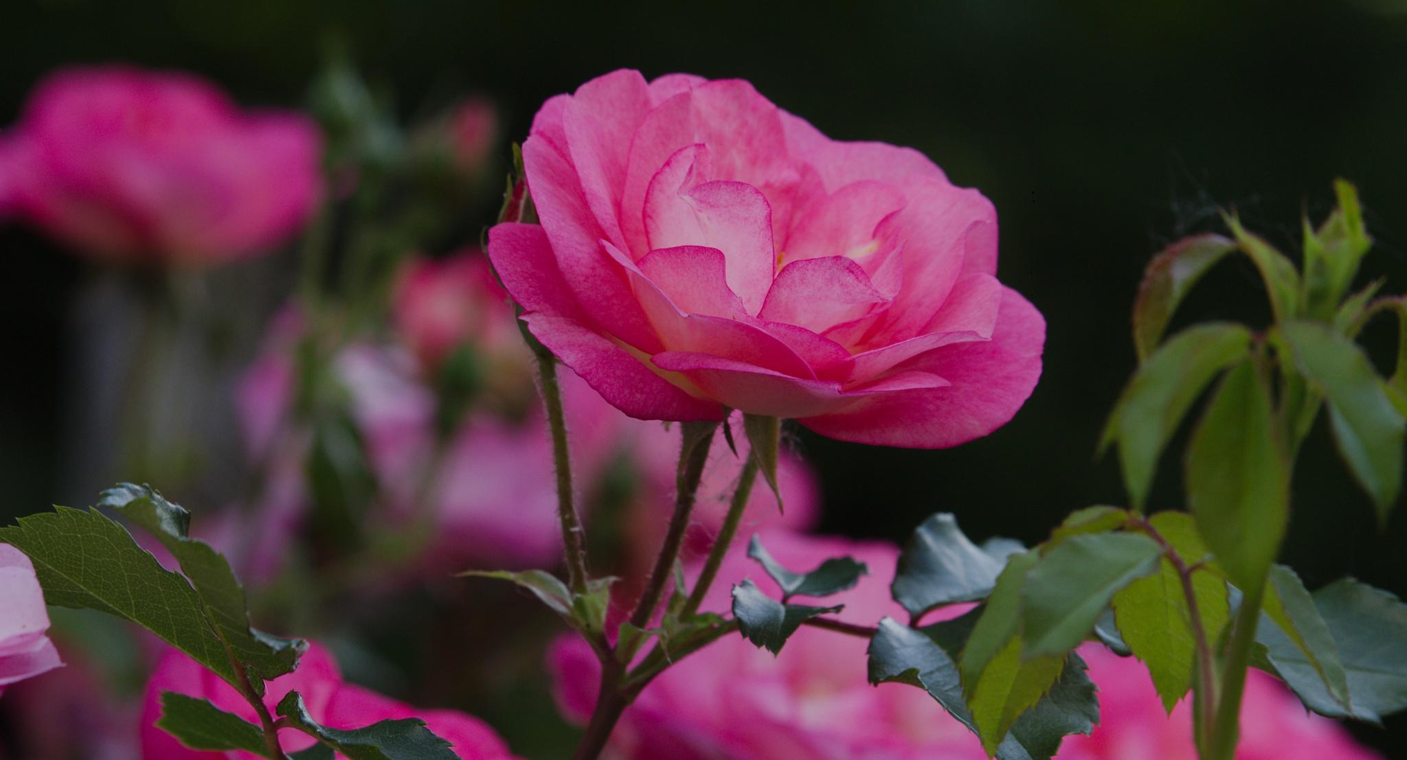 Photo in Nature #rose #roses #columbus park of roses