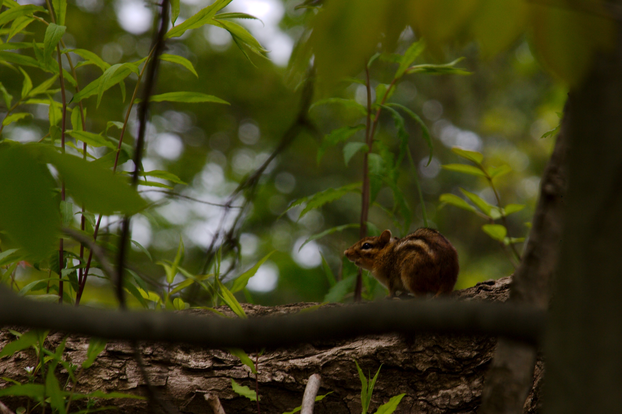 Chipmunk in Hiding (?) by Presnell Photography