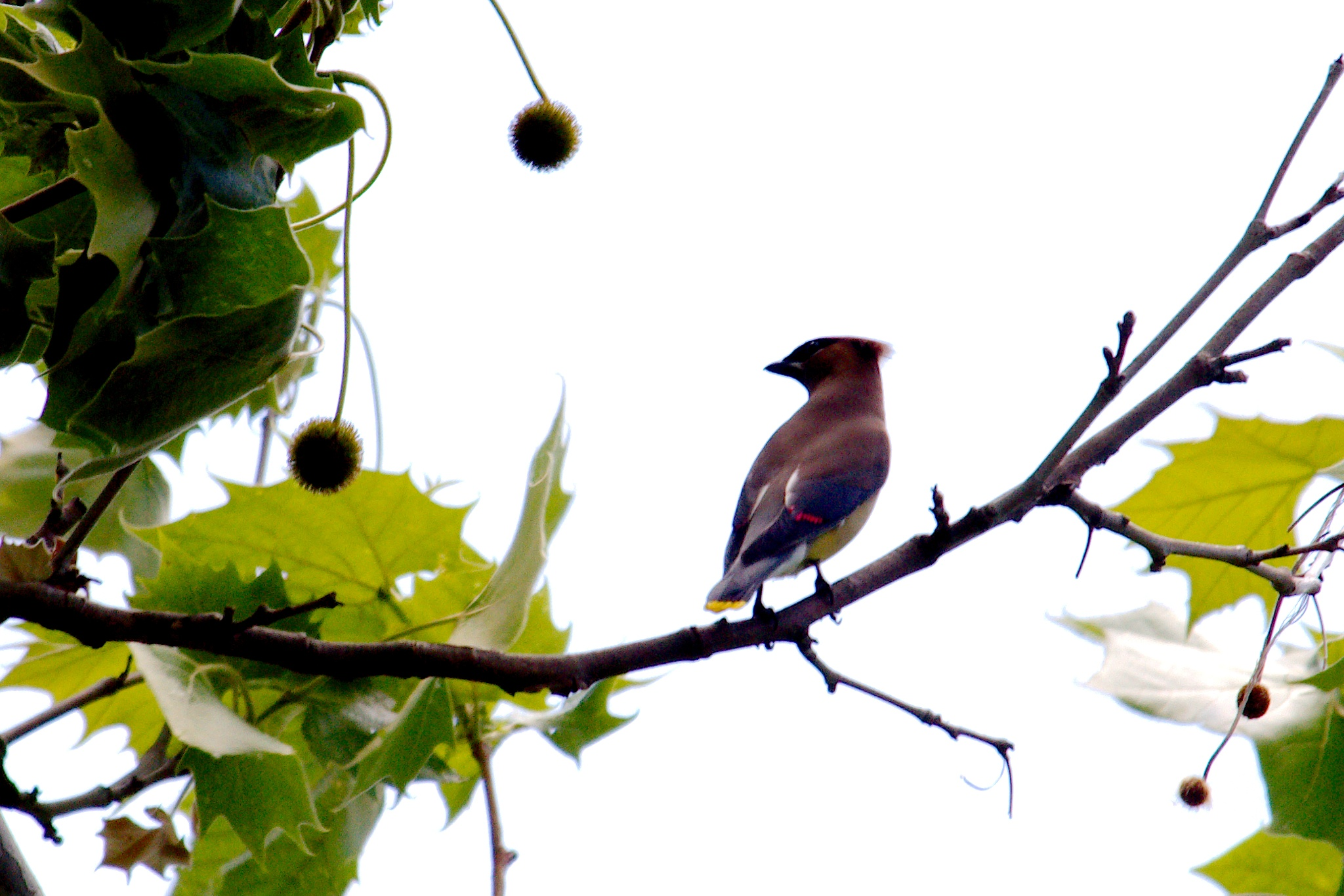 Cedar Waxwing by Presnell Photography