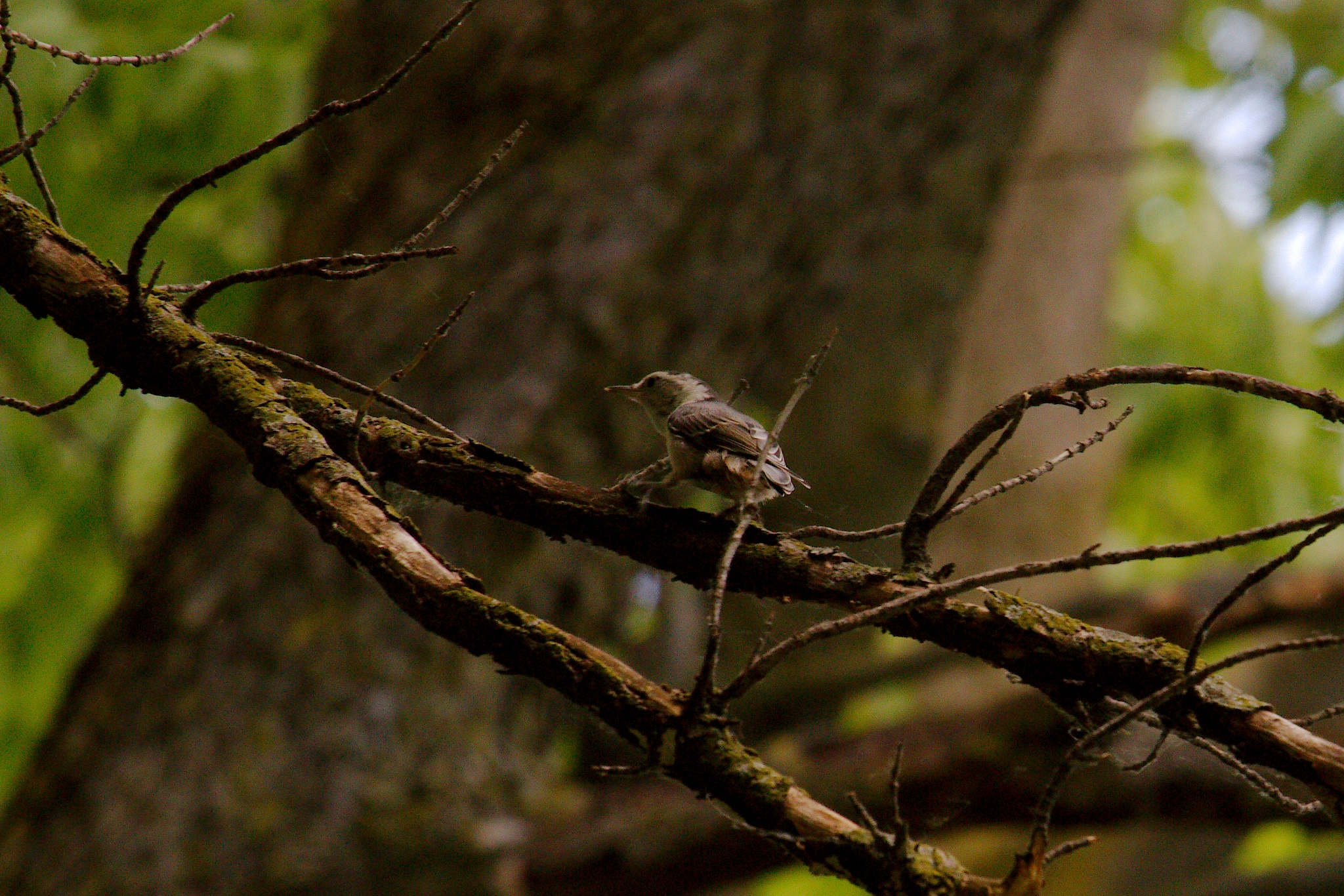Brown Headed Nuthatch by Presnell Photography