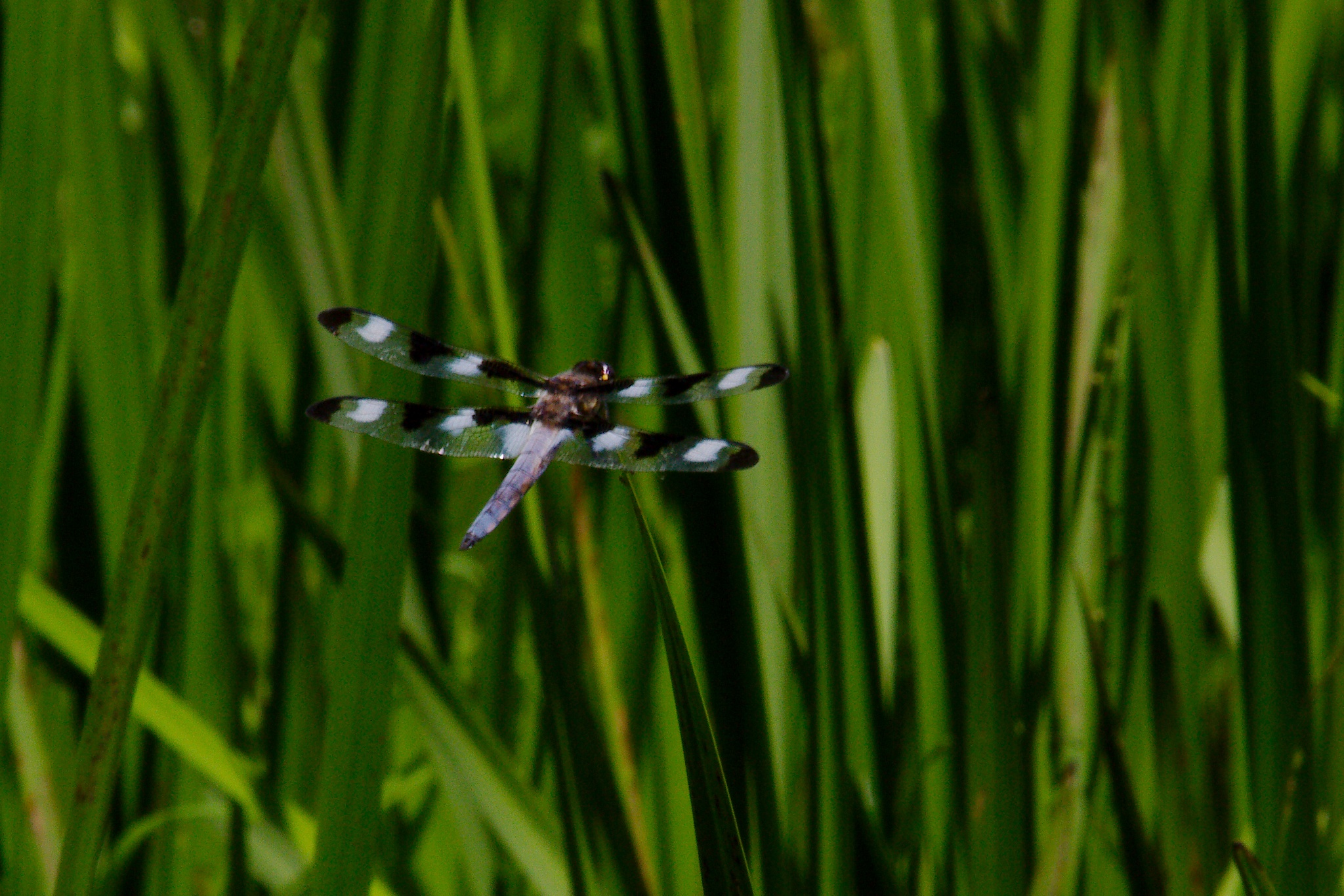 Dragonfly in the Marsh by Presnell Photography