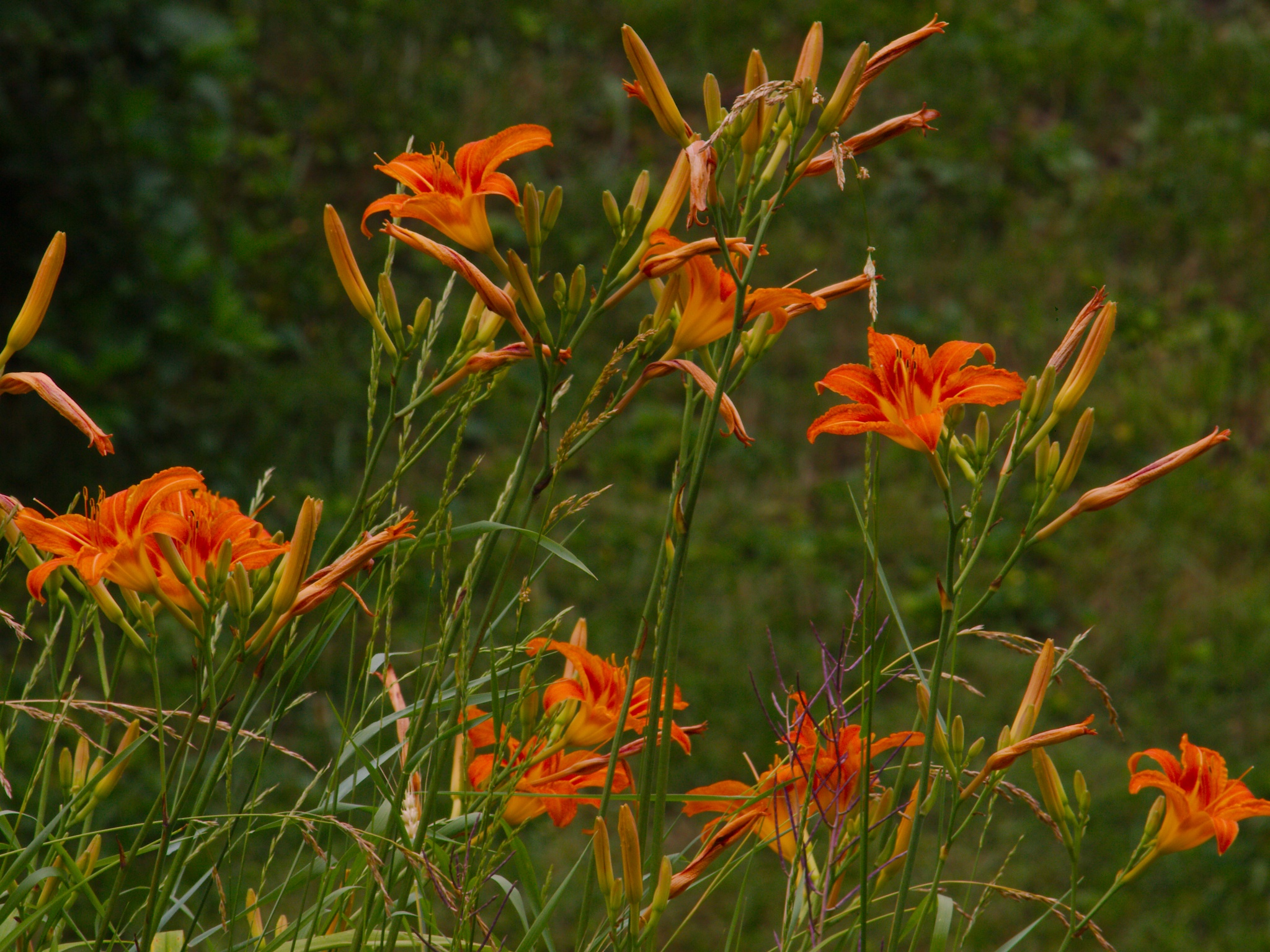 Summer Heat (Tiger Lilies) by Presnell Photography