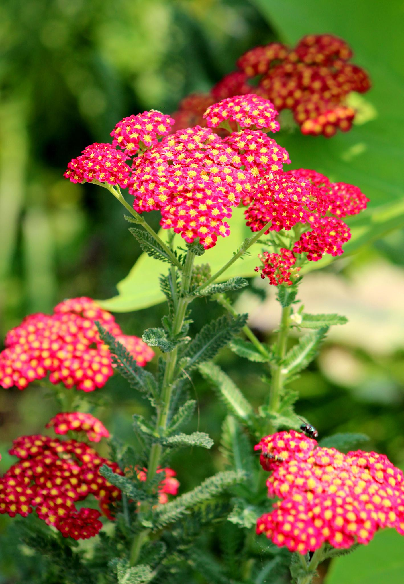 Red Yarrow by Presnell Photography