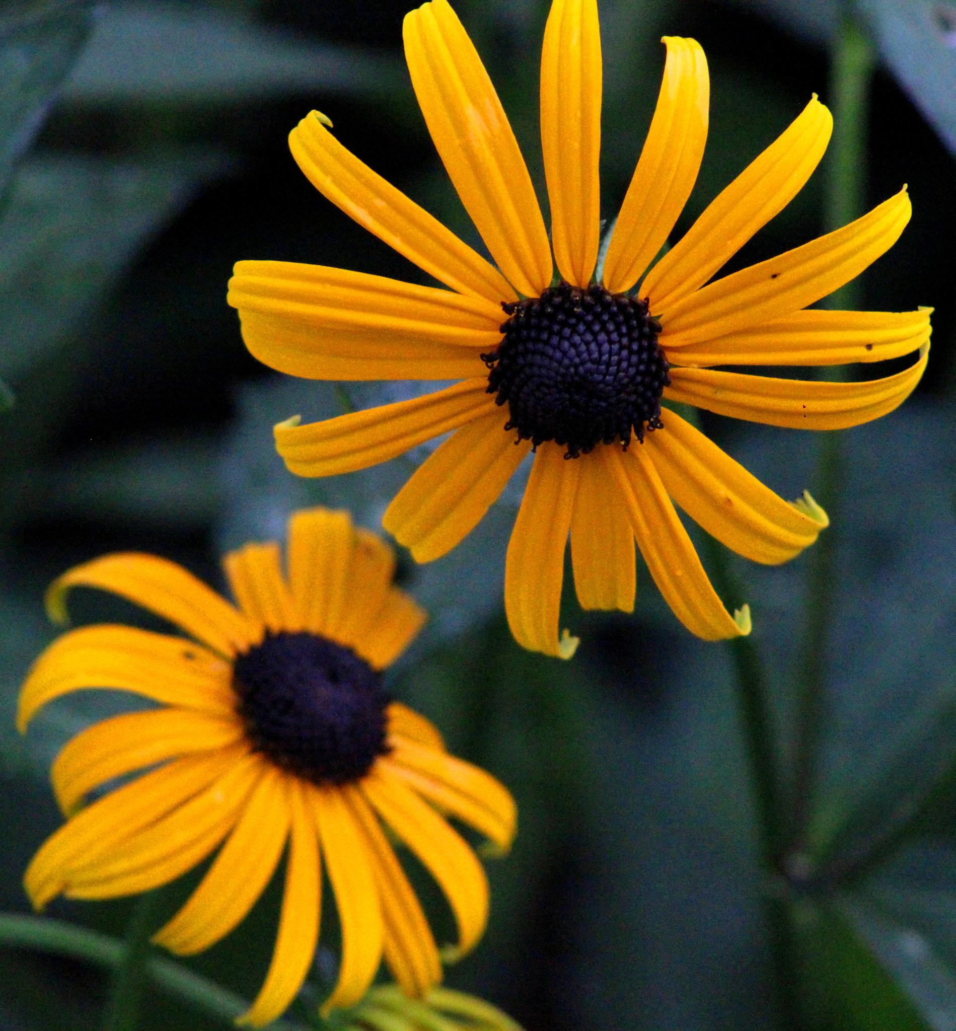 Lazy Eyed Susans by Presnell Photography