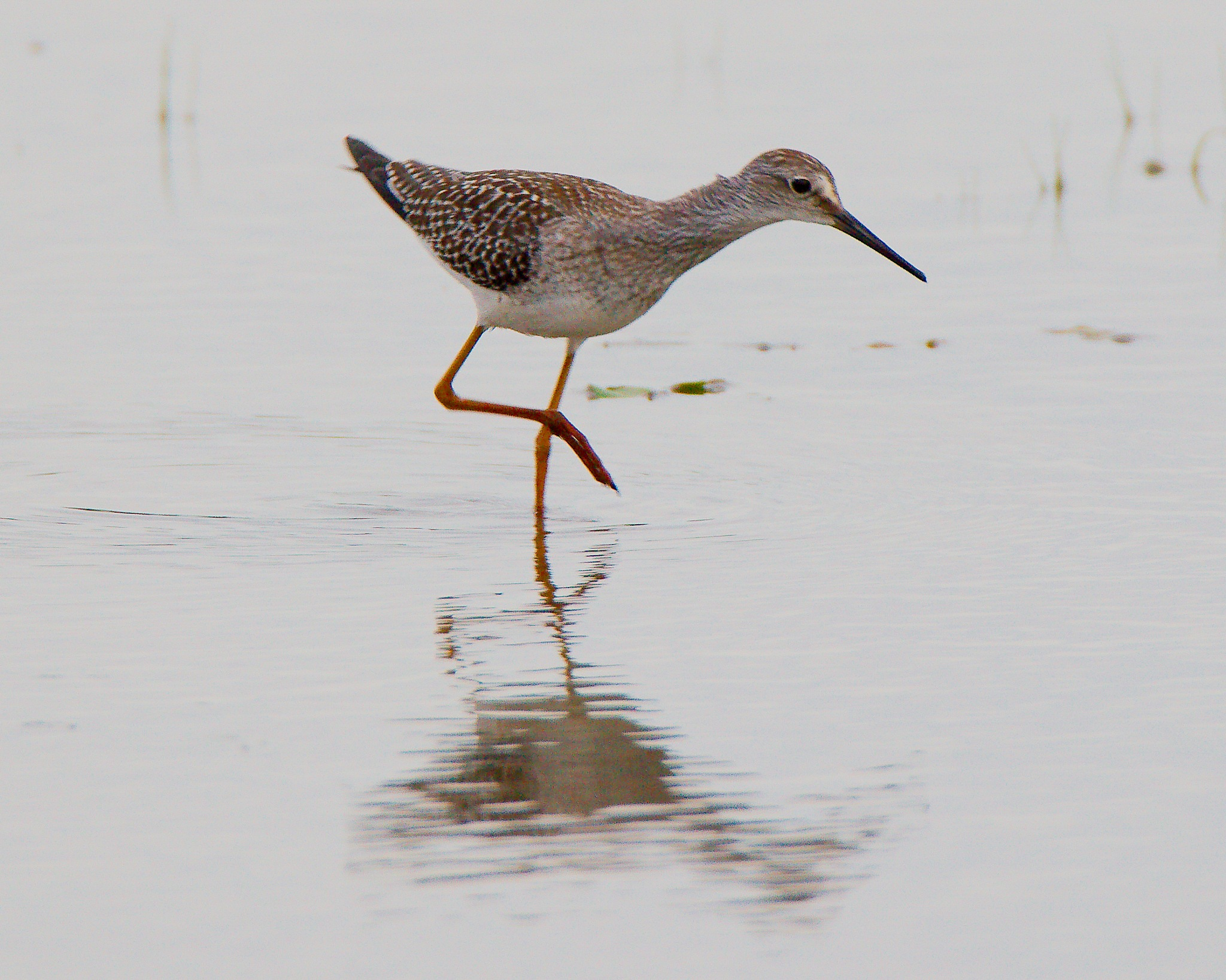 Lesser Yellowlegs on White by Presnell Photography