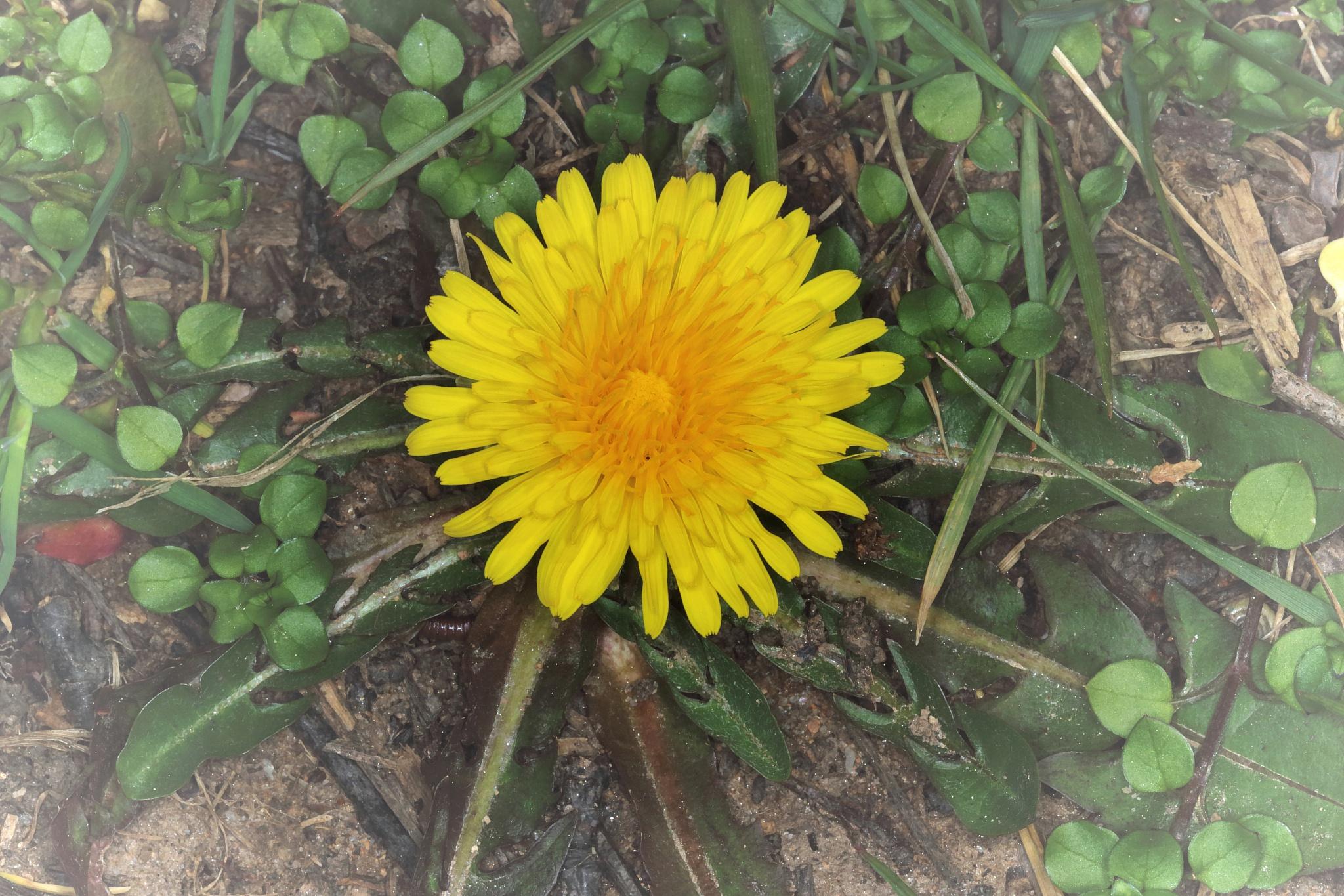 Photo in Macro #weed #dandelion #yellow
