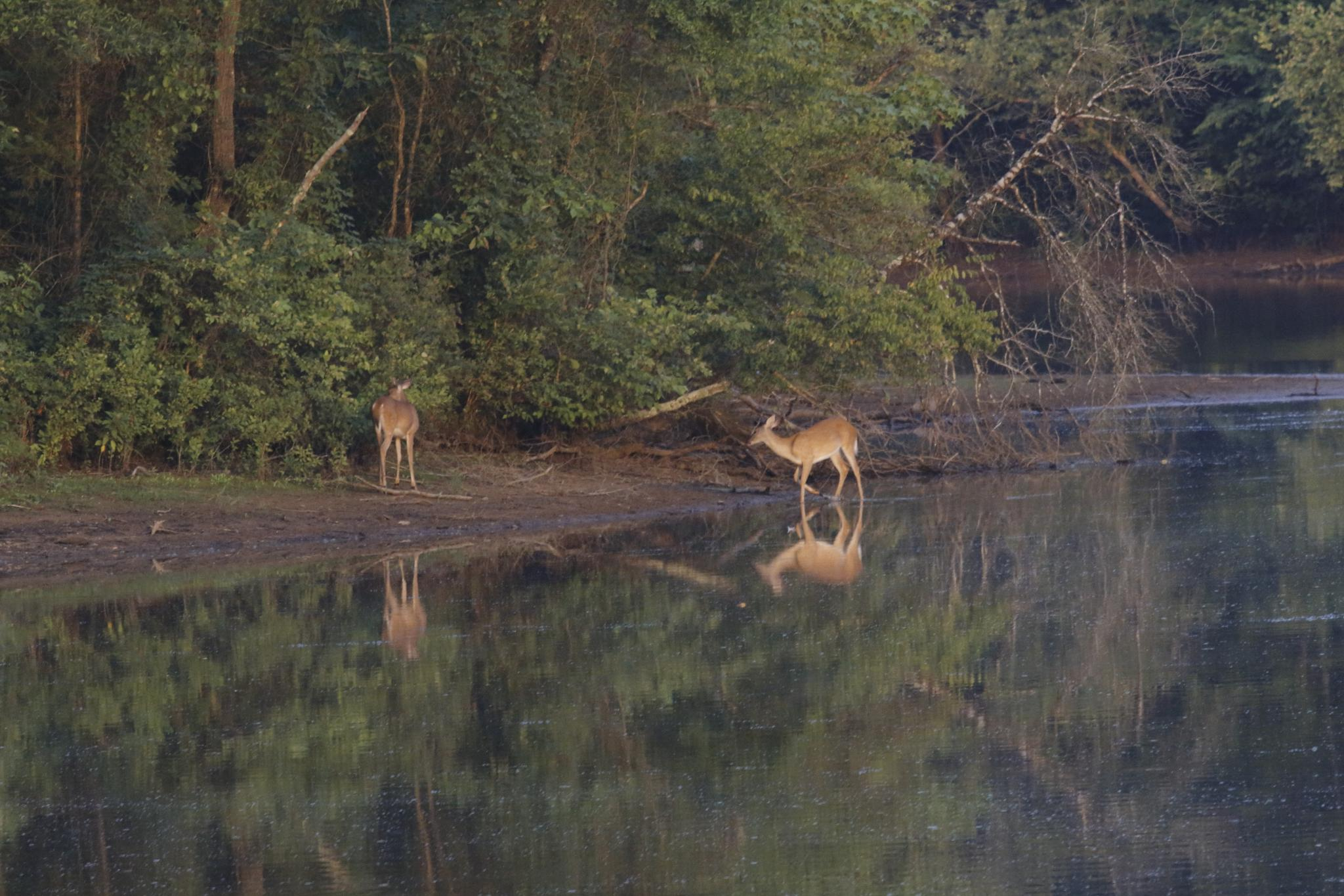 Morning Deer by Ronald Woodward